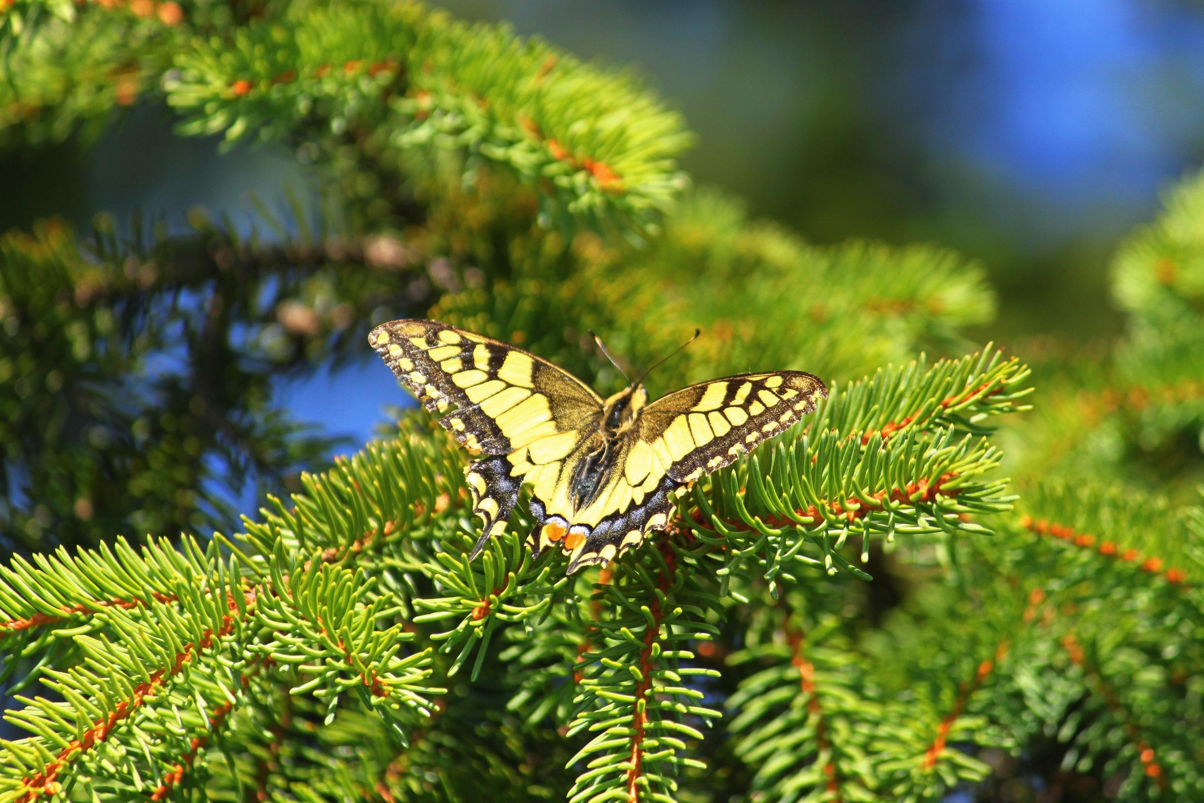 Schmetterlinge - Schwalbenschwanz