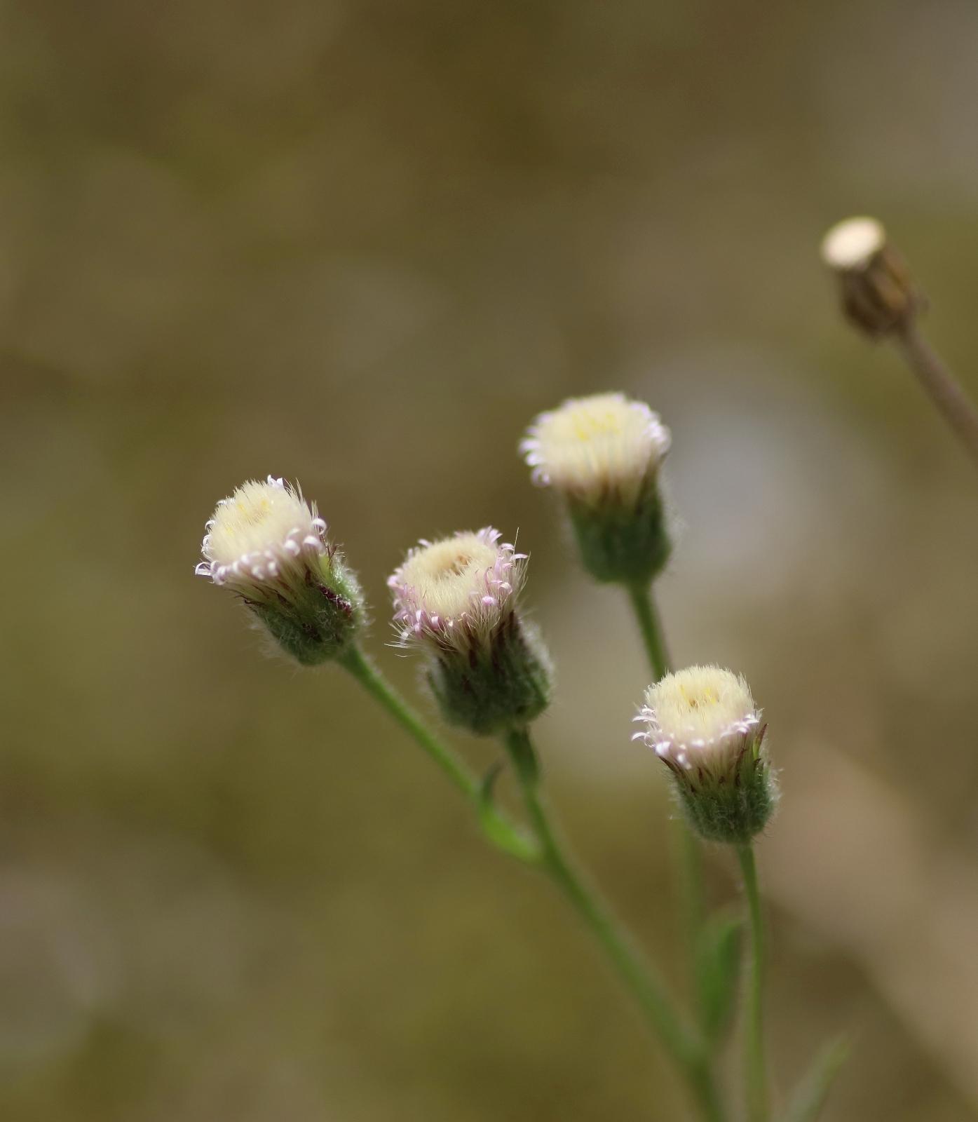 Blütenstand - Scharfes Berufskraut
