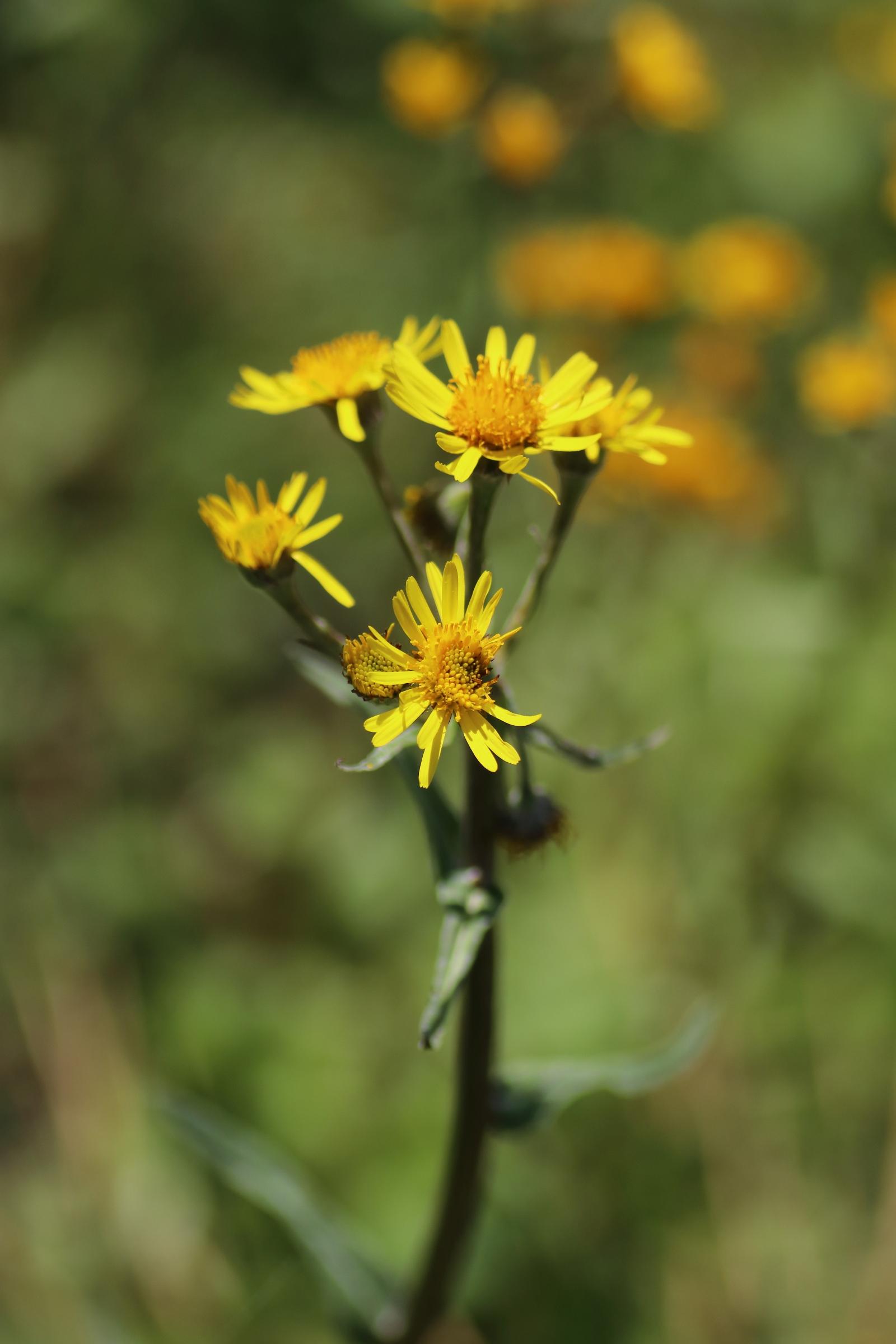 Bach-Greiskraut - Blüten