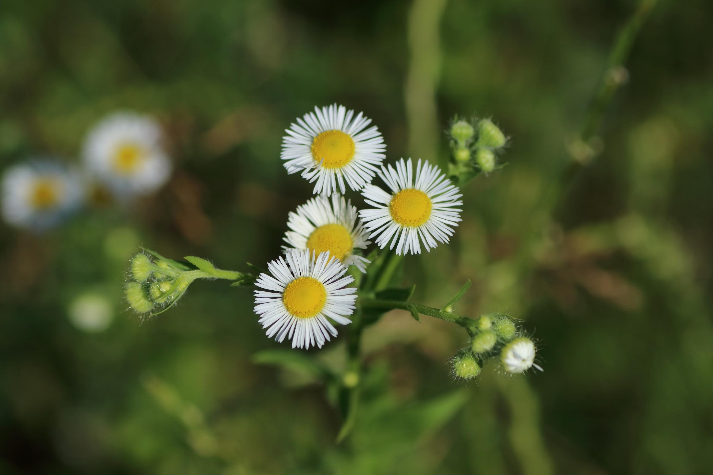 Einjähriger Feinstrahl - Blüten