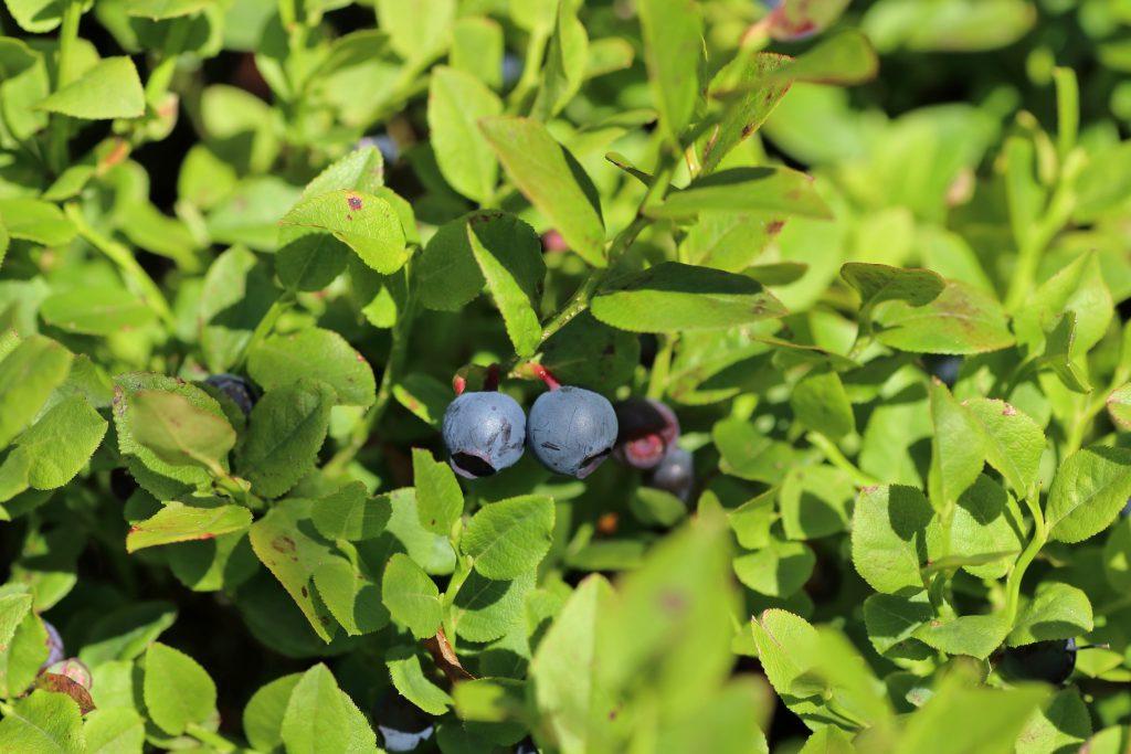 Heidelbeere - Früchte