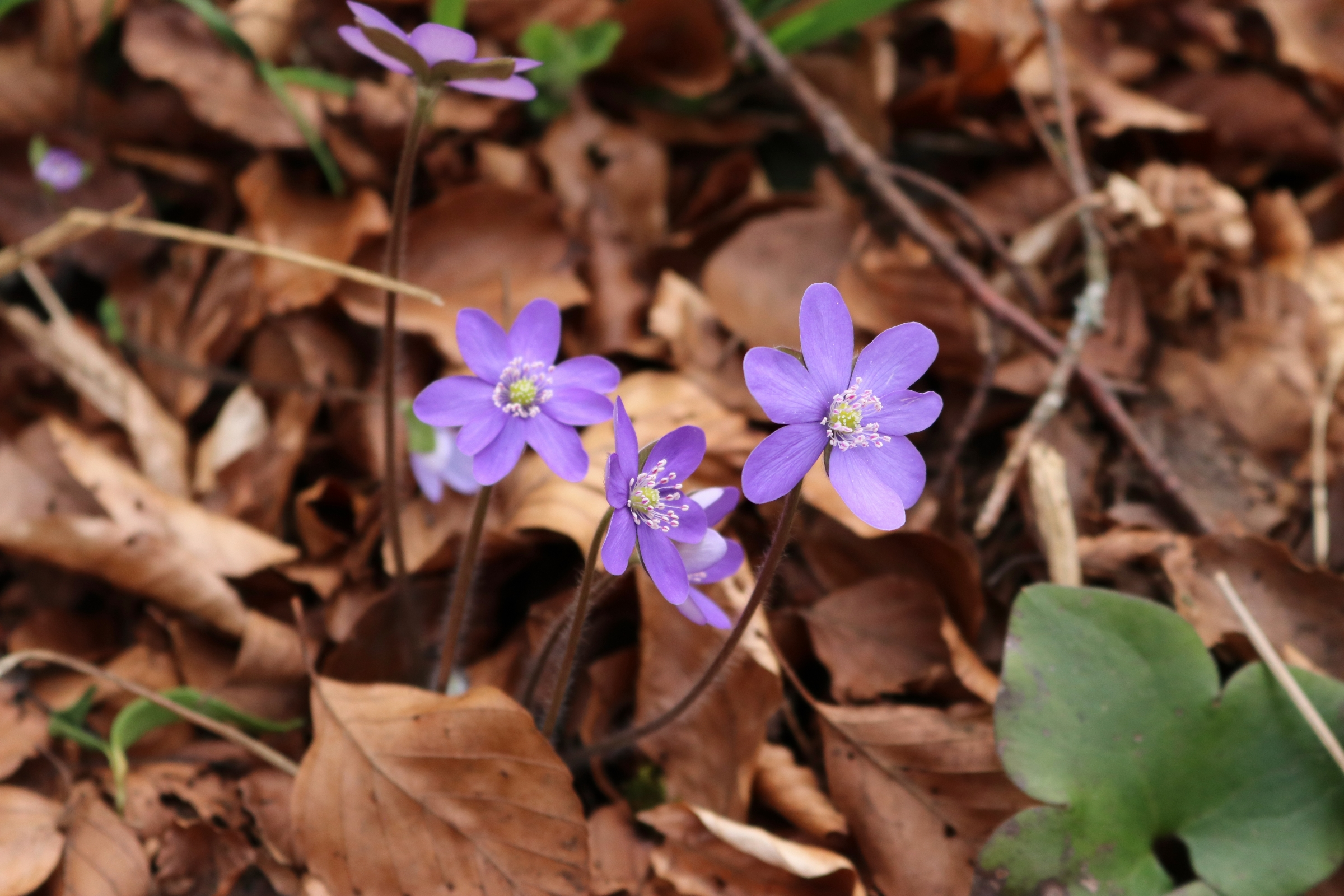 dreilappige Leberblümchen