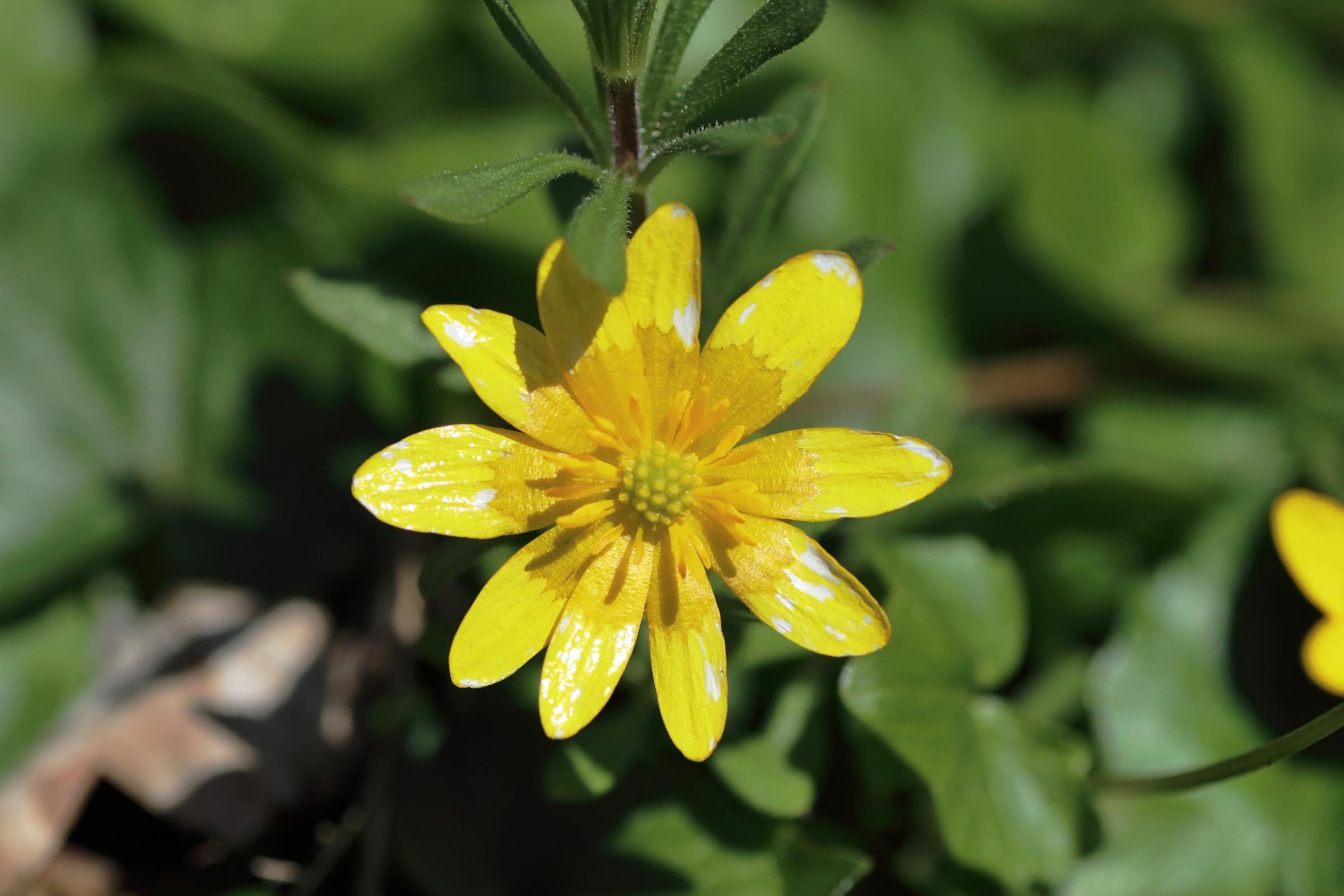 Blüte des Scharbockskraut