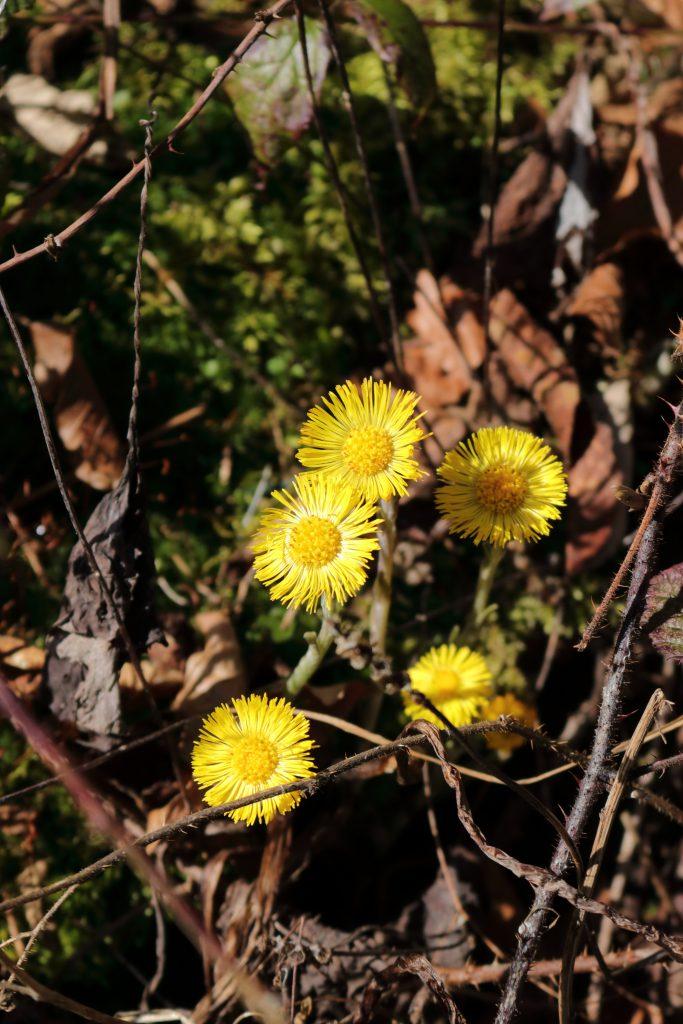 Blüte des Huflattich