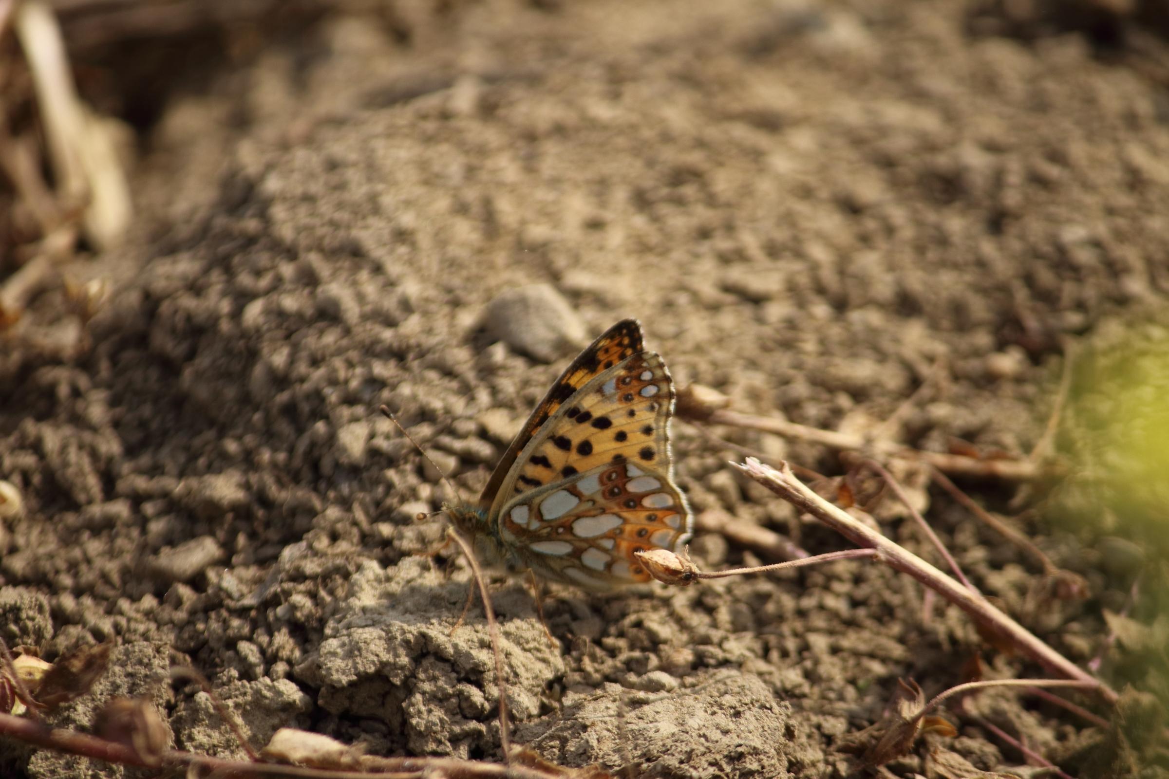 Schmetterlinge - kleiner Perlmuttfalter