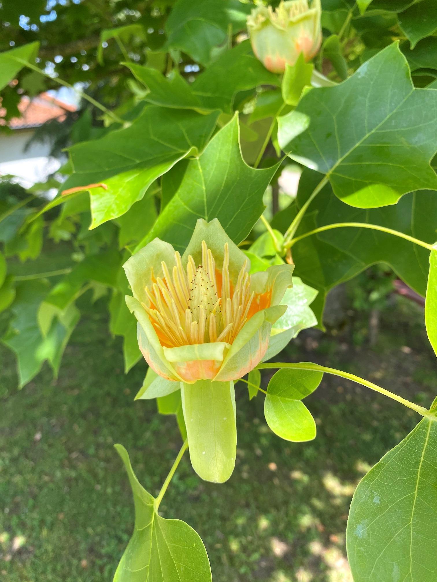 Tulpenbaum - Blüte