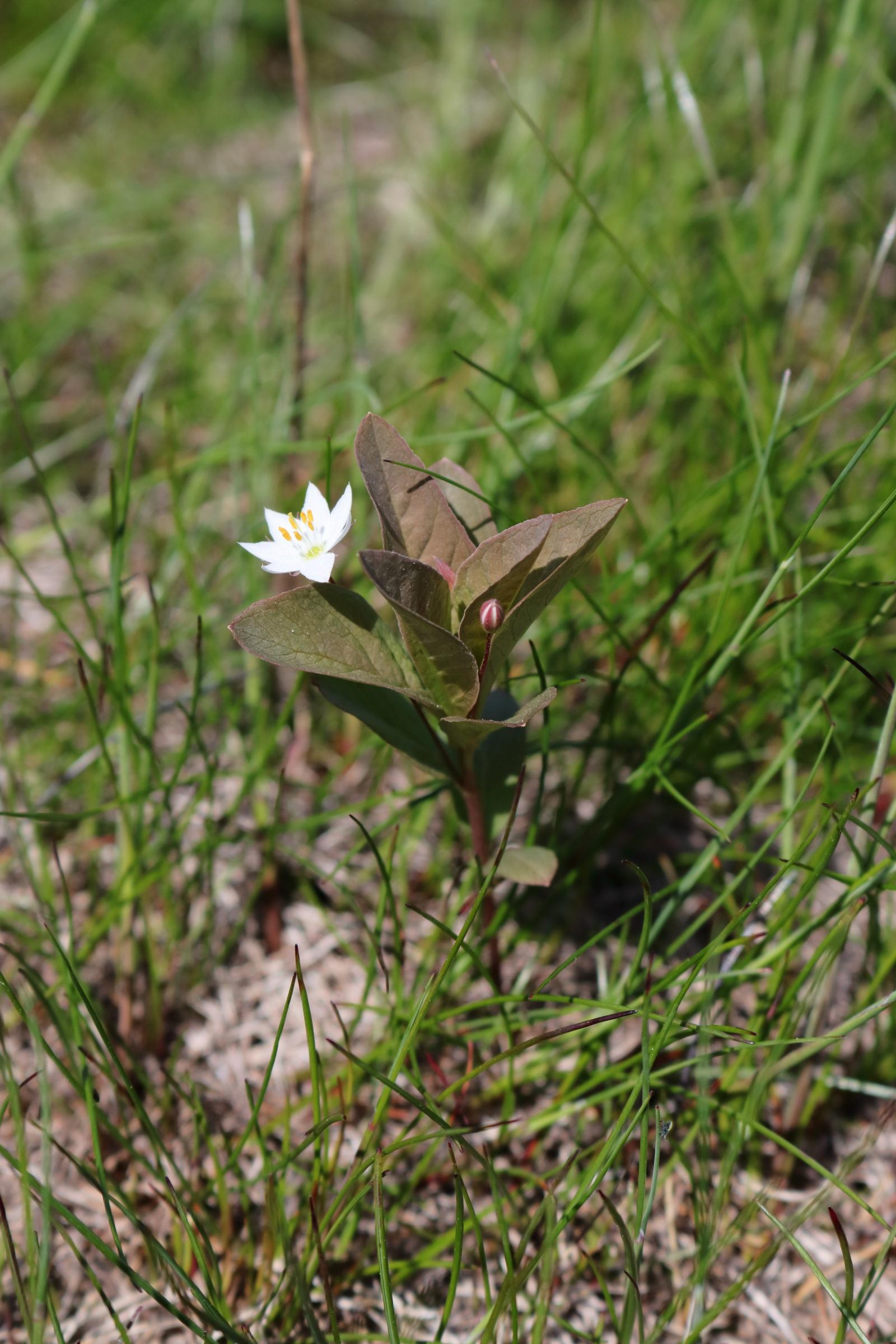Siebenstern - Detailaufnahme der Blüte