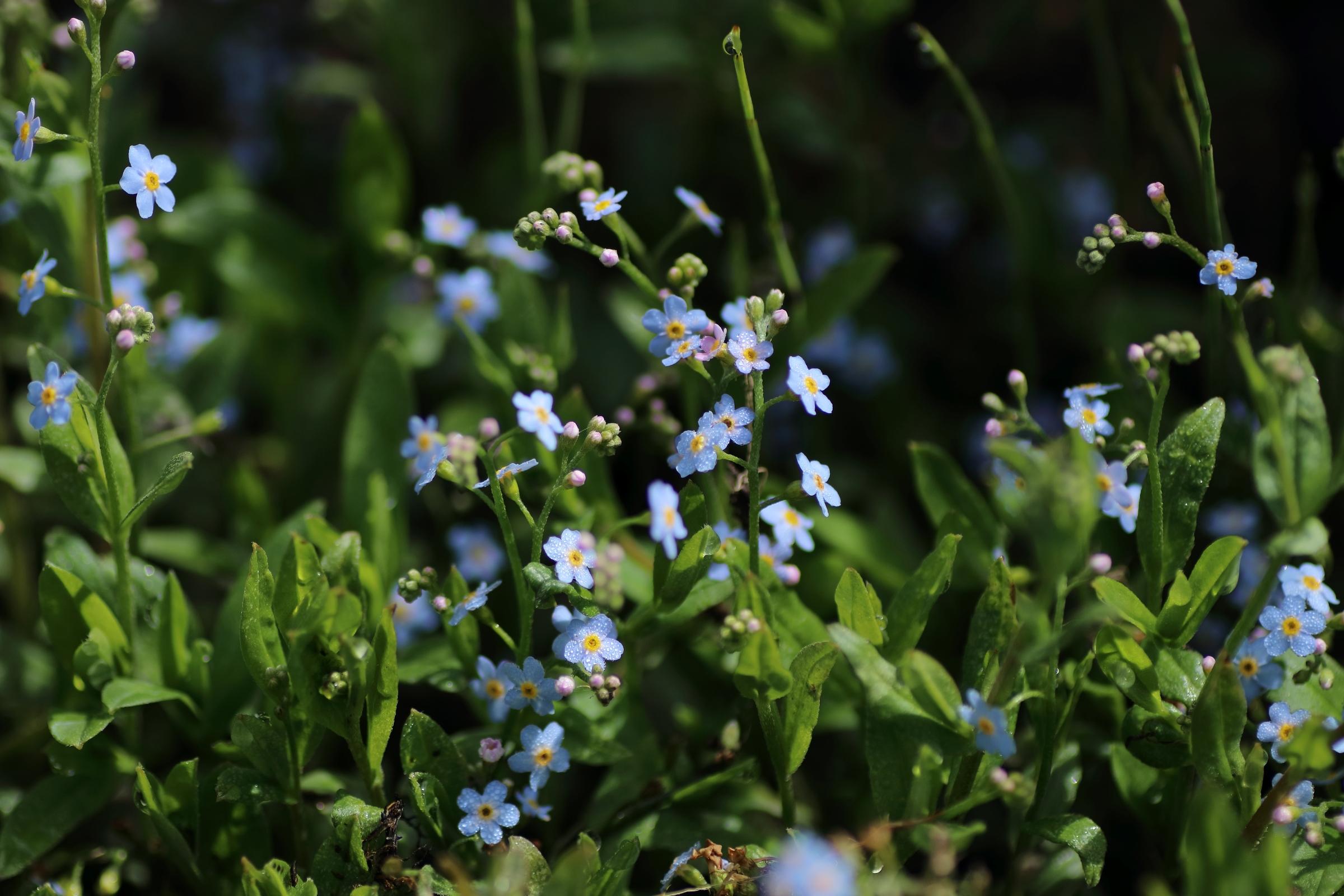 Sumpf-Vergissmeinnicht - Blüten