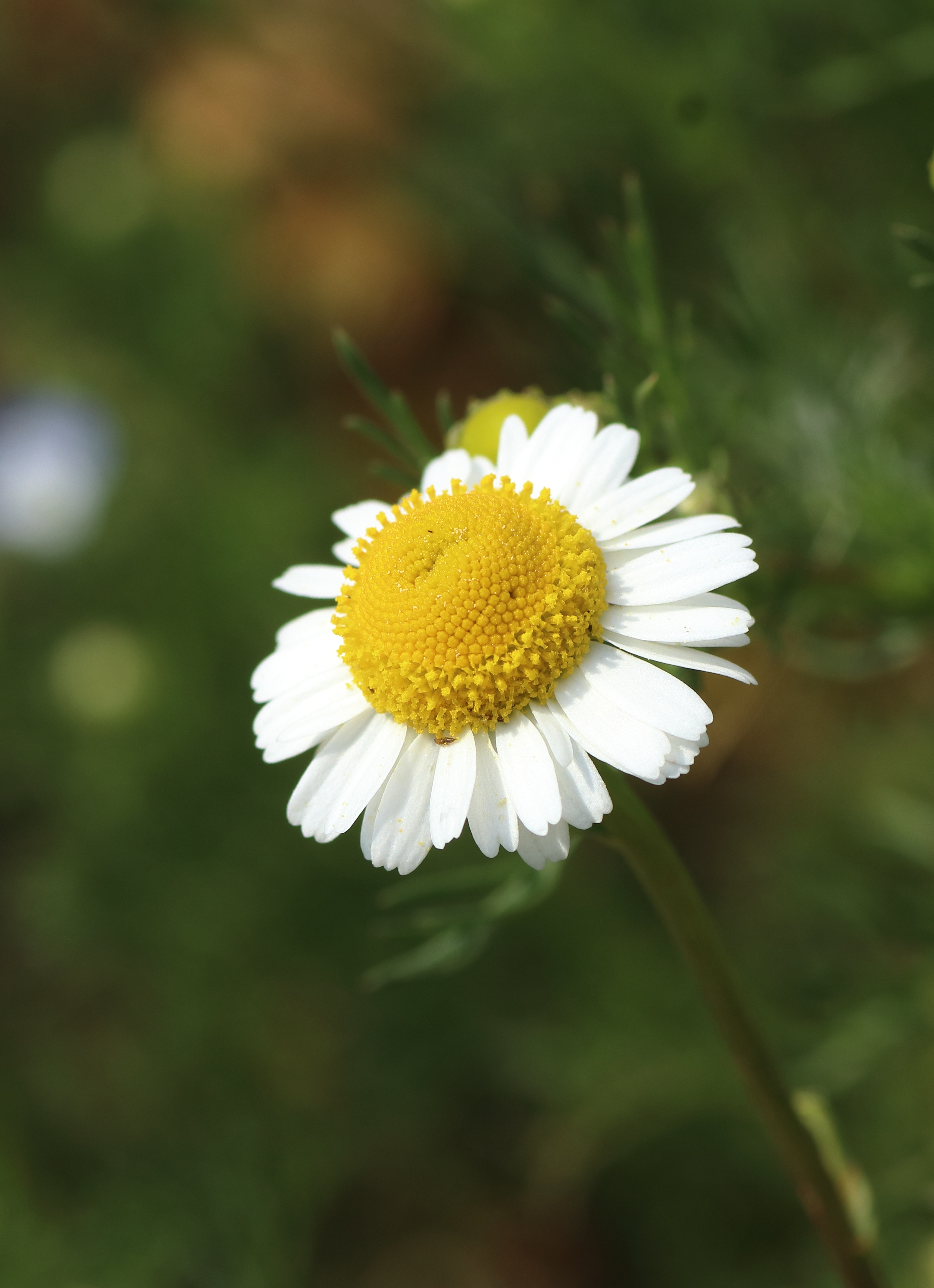 echte Kamille - Blüten