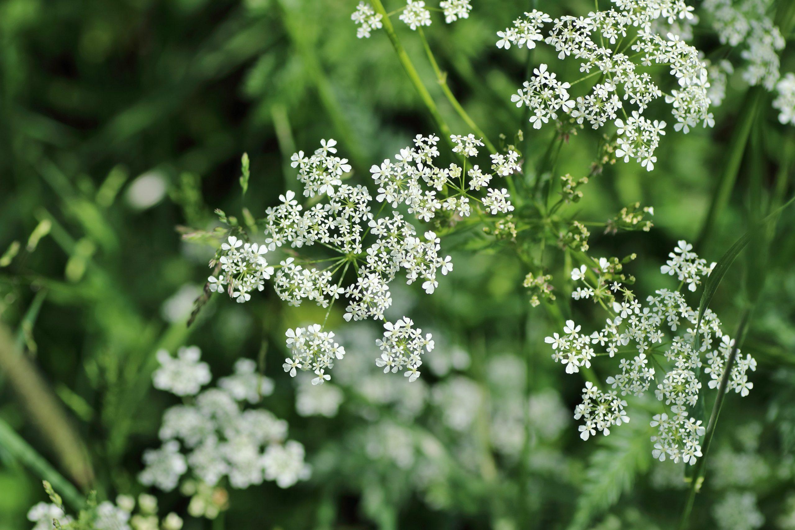 Wiesen-Kerbel Blüte
