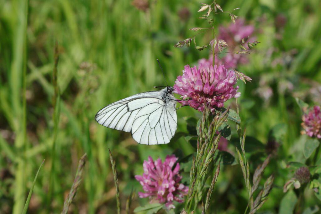 Baumweißling - Schmetterlinge