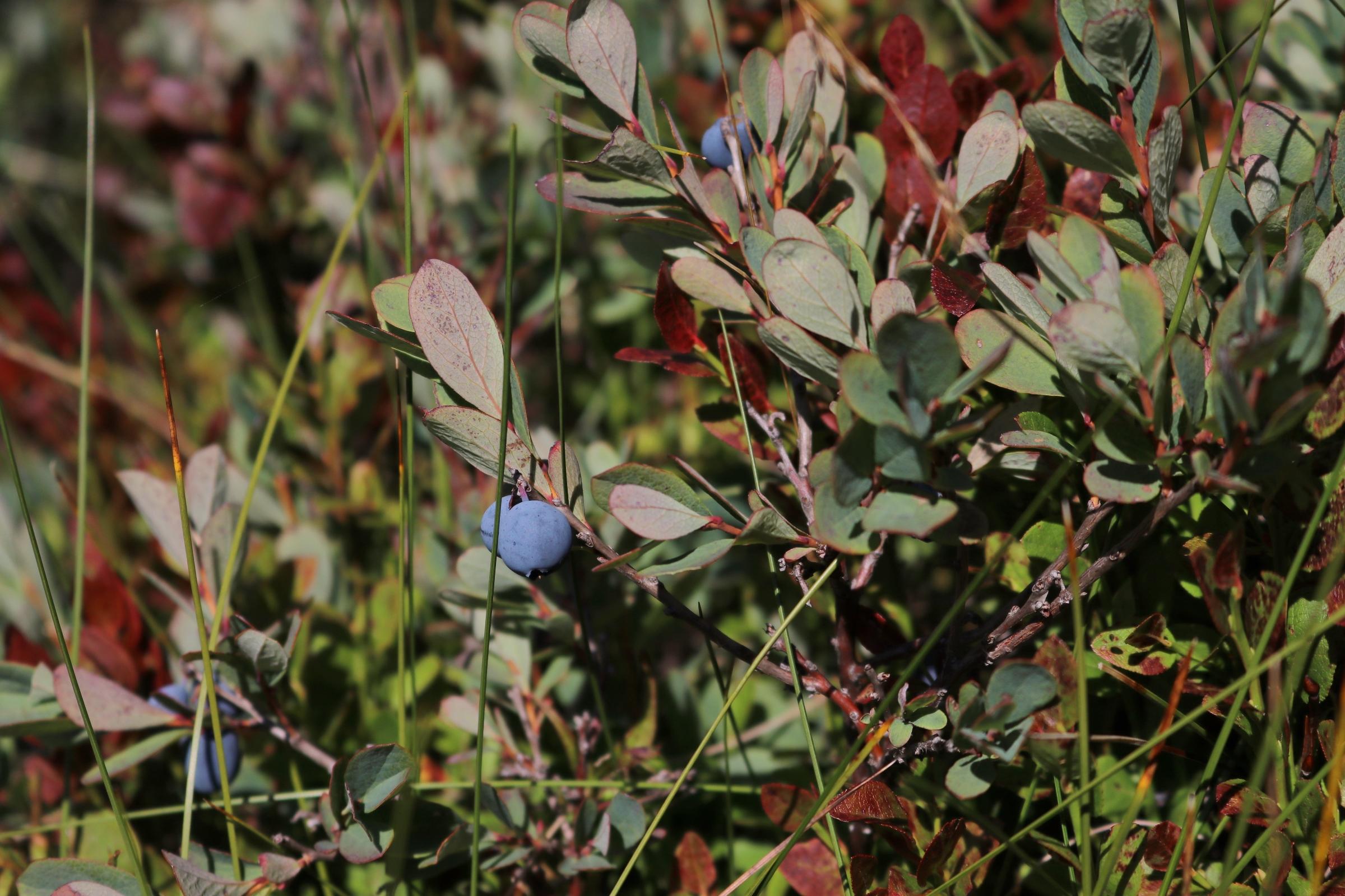 Früchte der Moor-Rauschbeere - blaue, rundlich aufgebaute Früchte