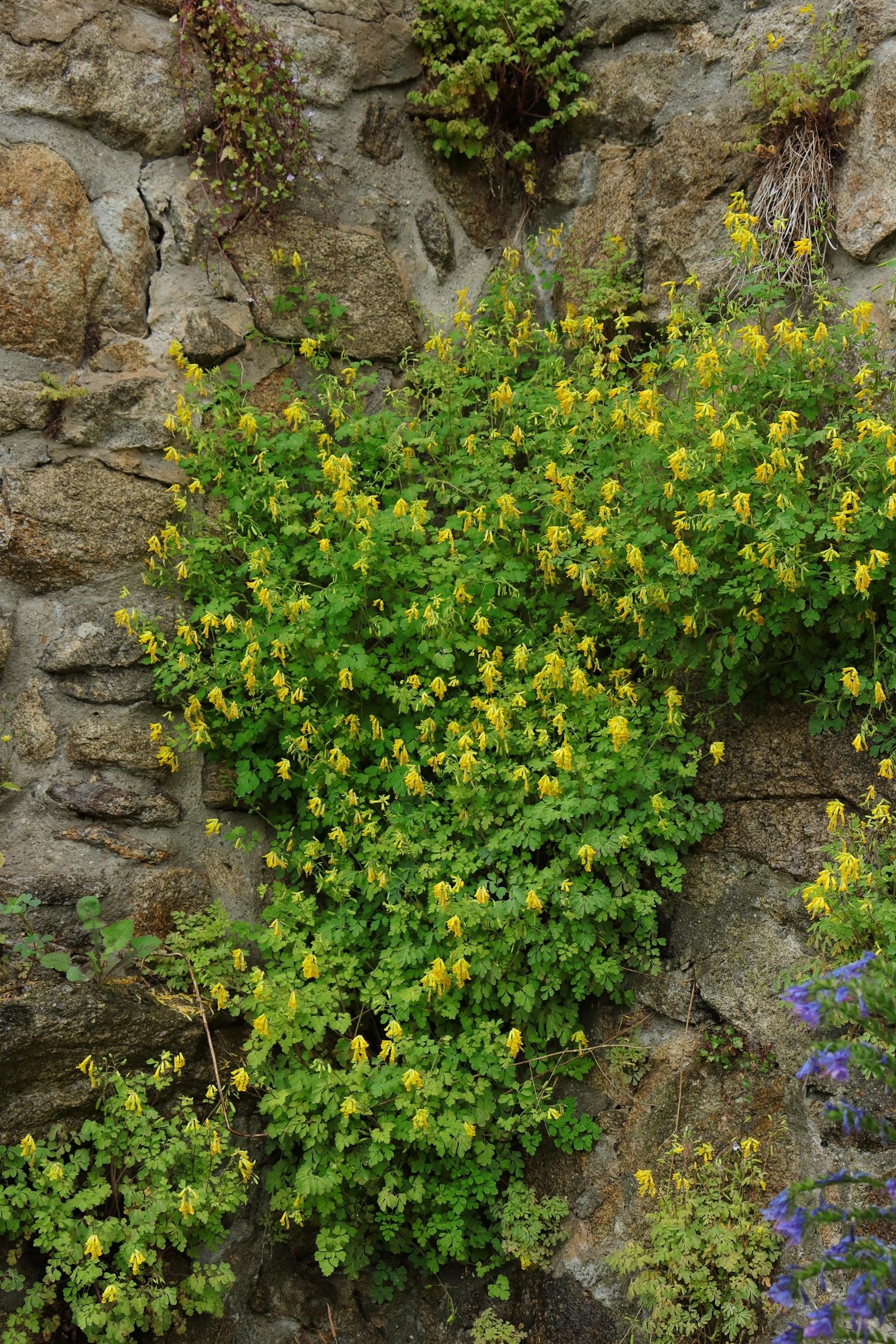 Gelber Lerchensporn - gesamte Pflanze