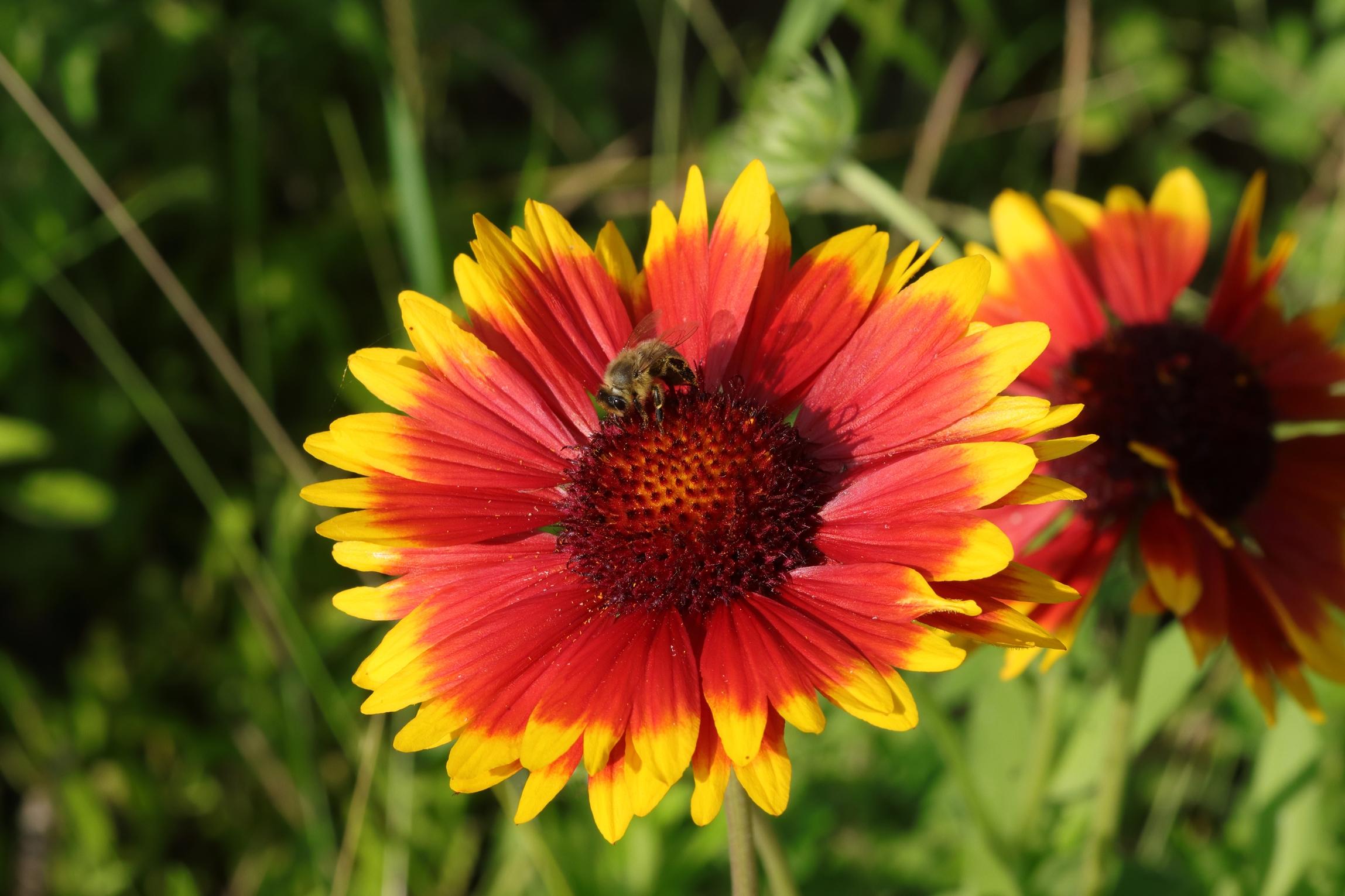 Prärie-Kokardenblume - ein Bienenmagnet
