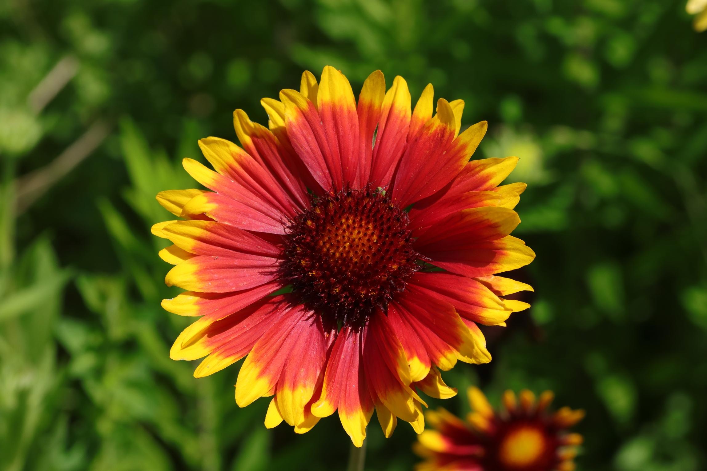 Prärie-Kokardenblume