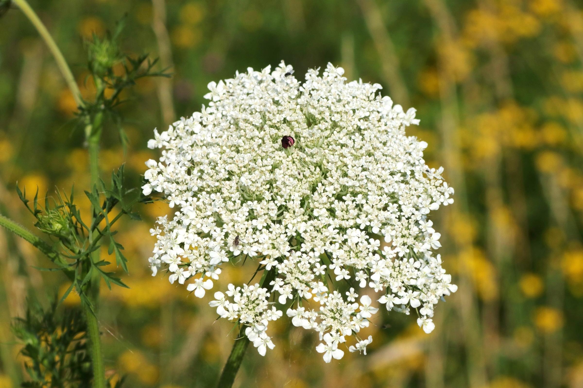 Wilde Möhre - Blüte