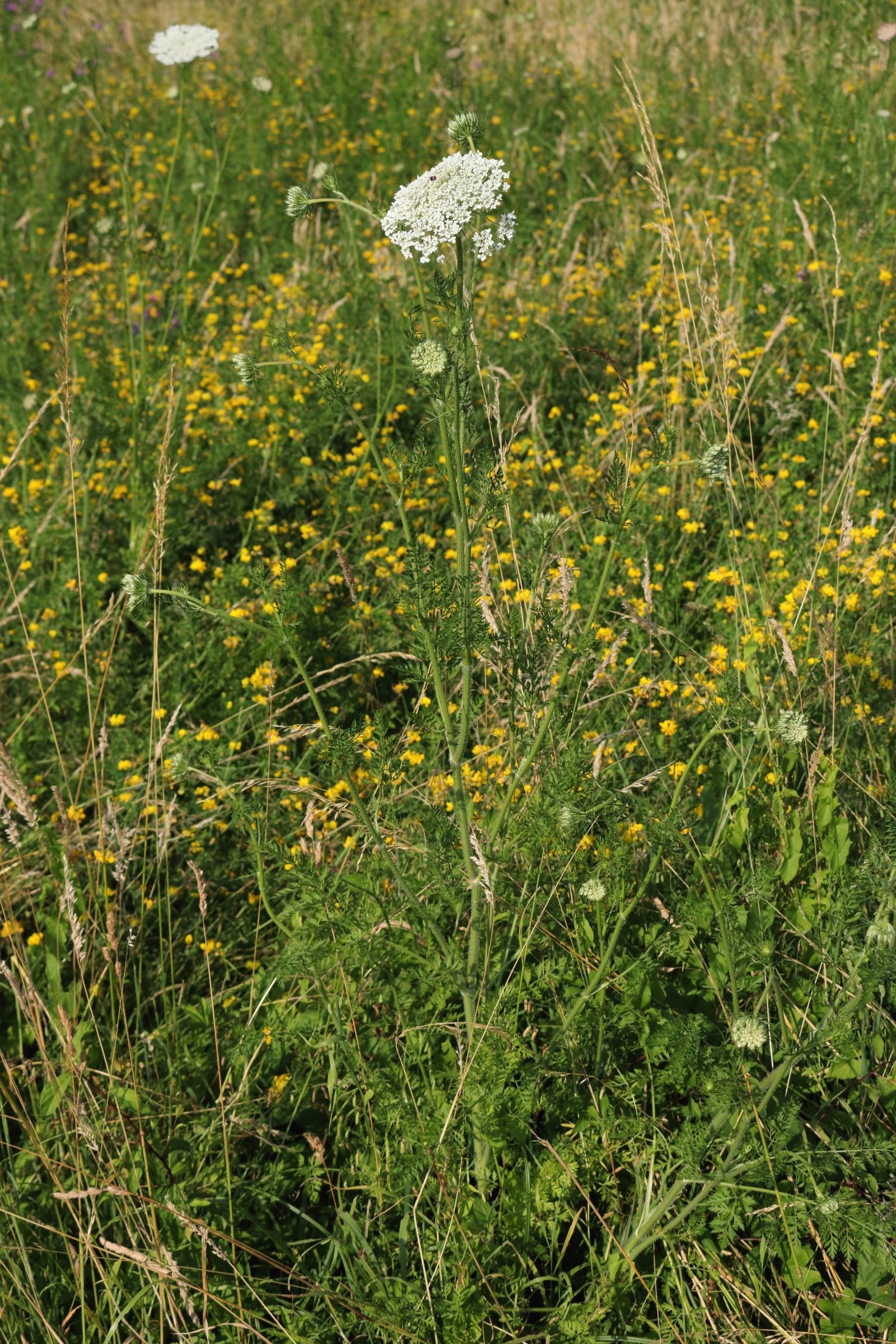 Wilde Möhre - Gesamte Pflanze
