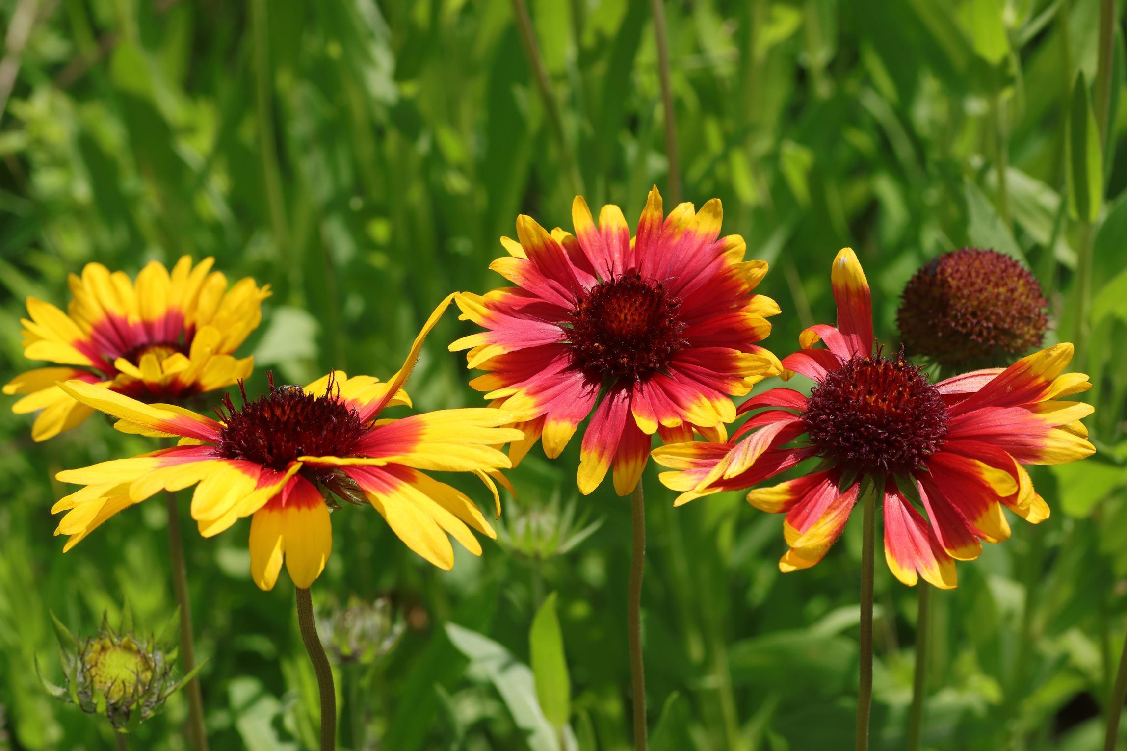 Prärie-Kokardenblume - Blütengruppe
