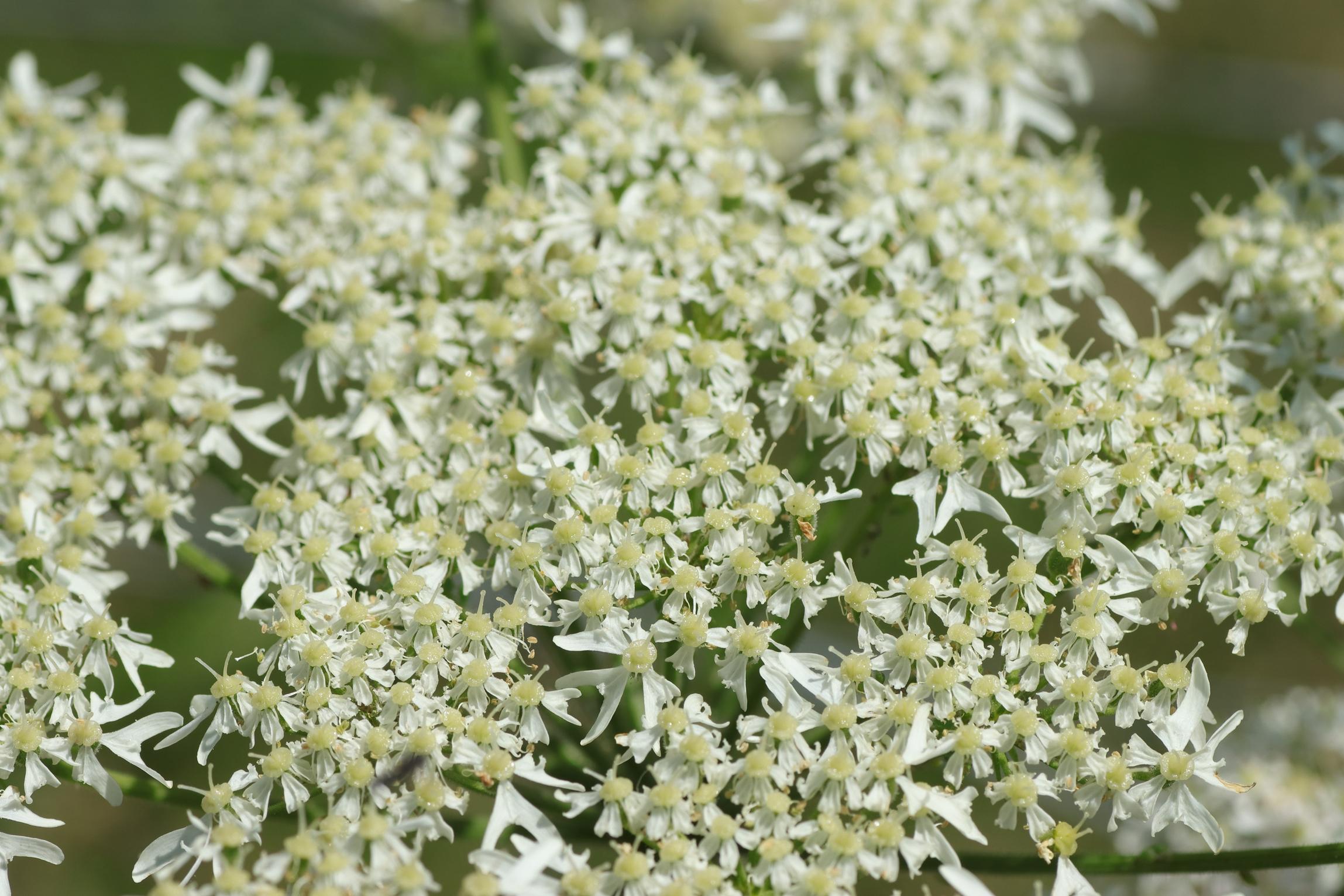 Wiesen-Bärenklau - Blüte