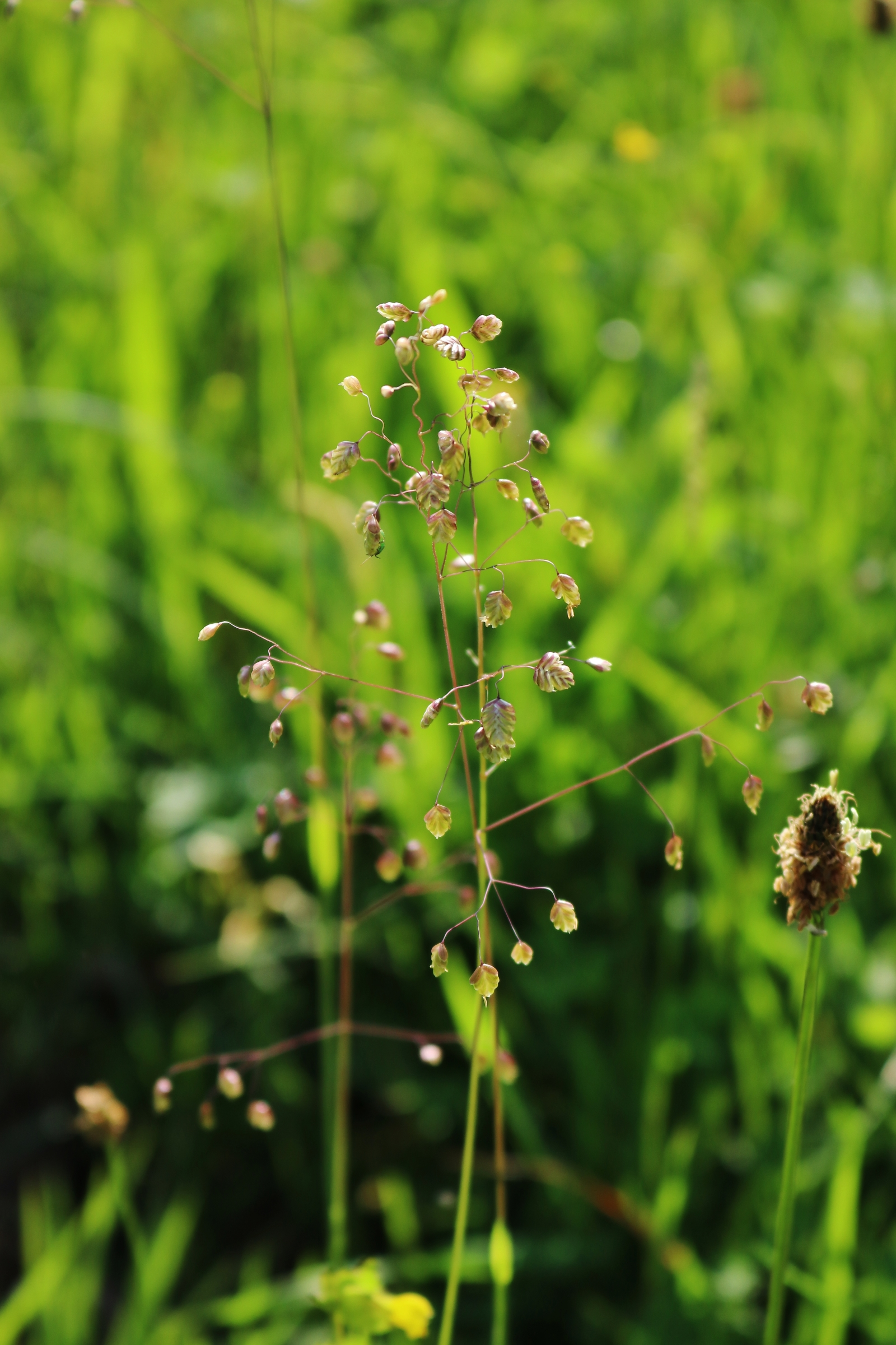 Zittergras - Blütenähre