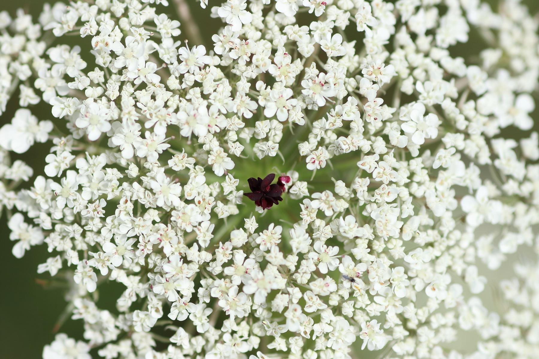 Wilde Möhre - Violette Scheinblüte