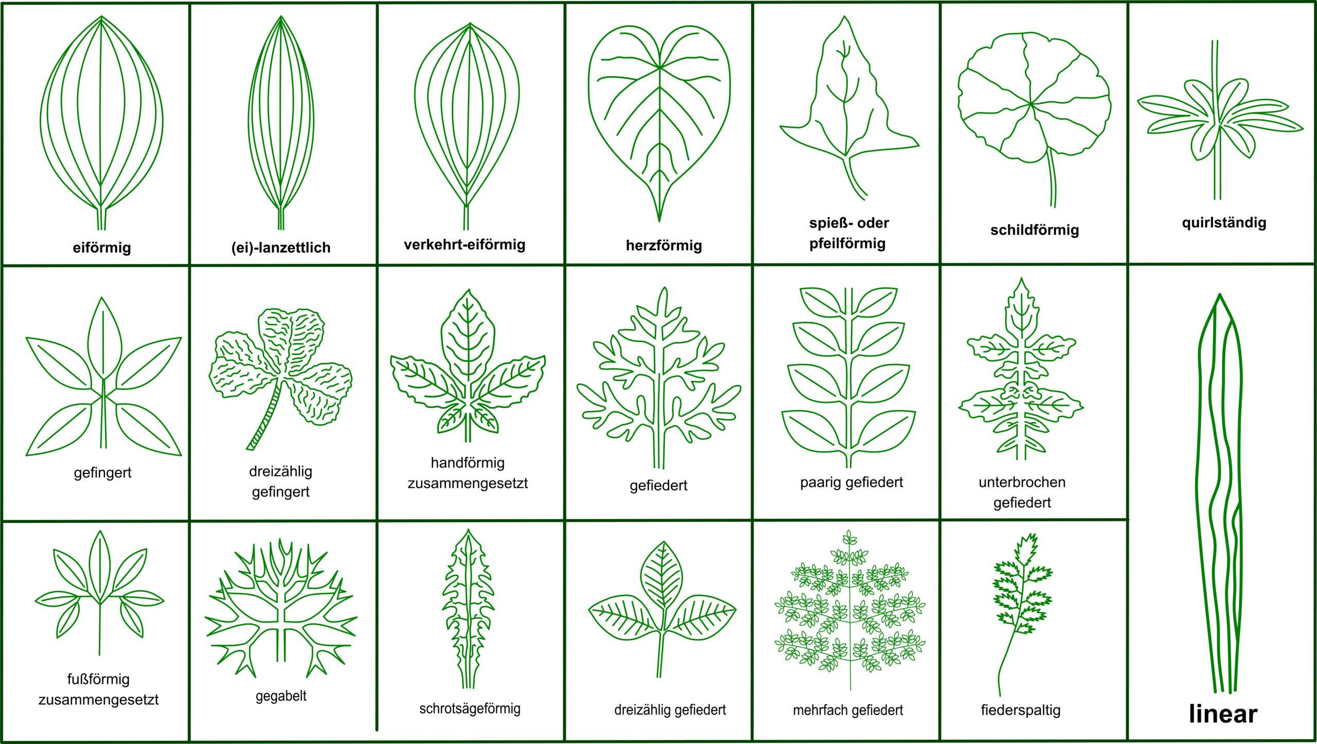 Fachbegriffe der Pflanzenbestimmung - Blattformen Pflanzen
