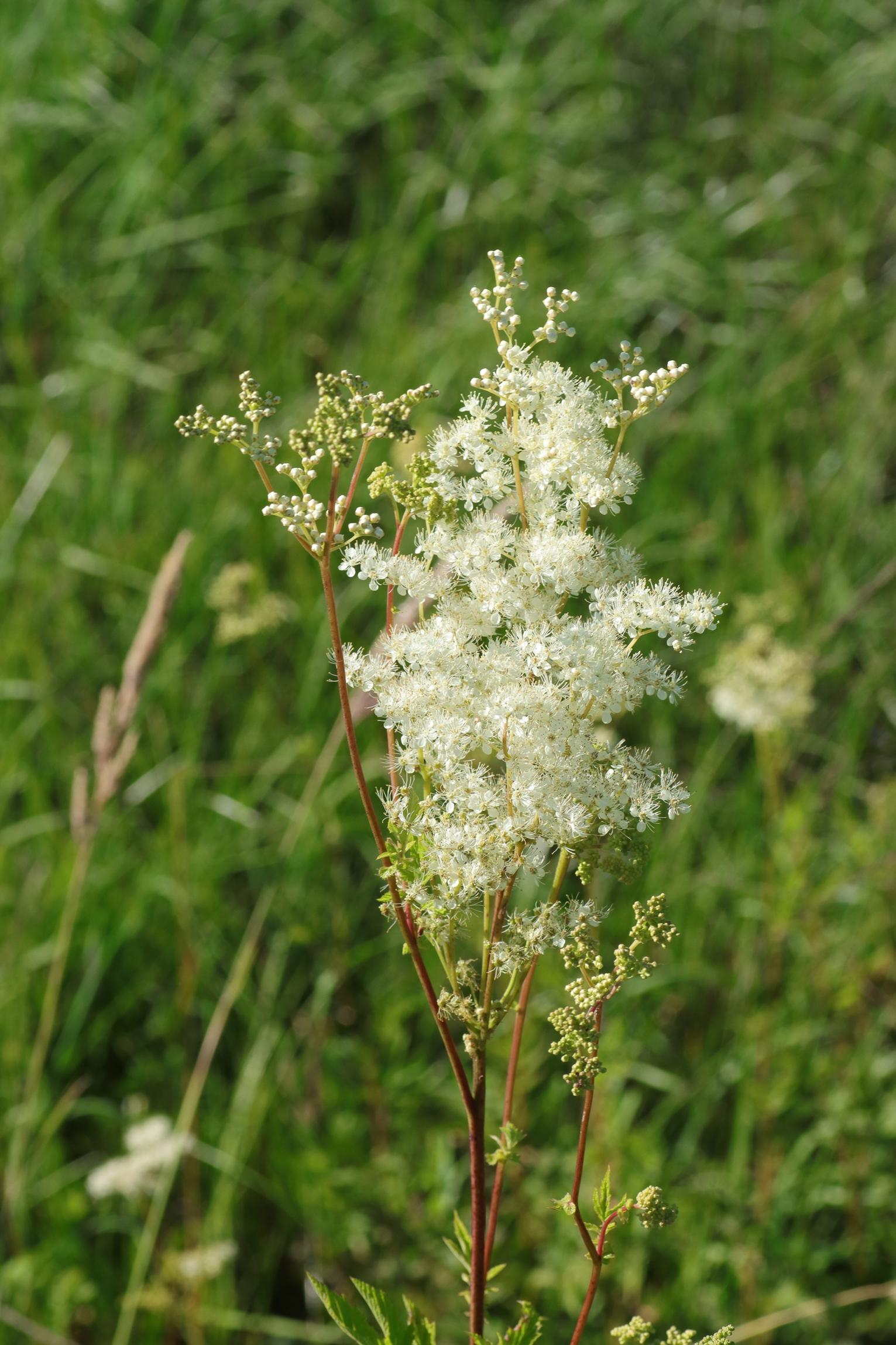 Mädesüß - Blüte