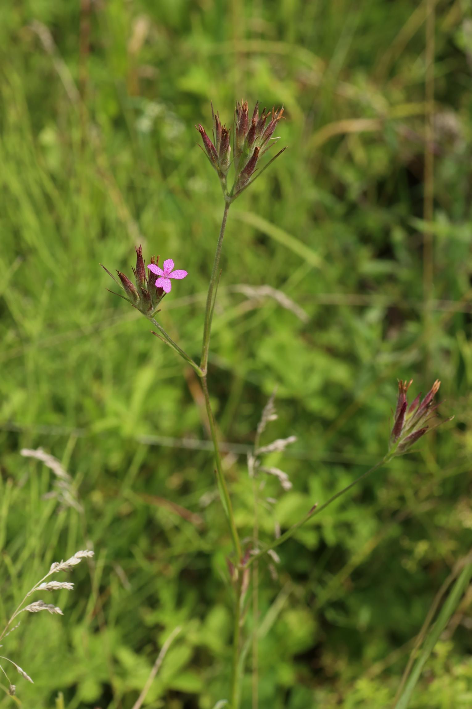 Raue Nelke - Dianthus armeria