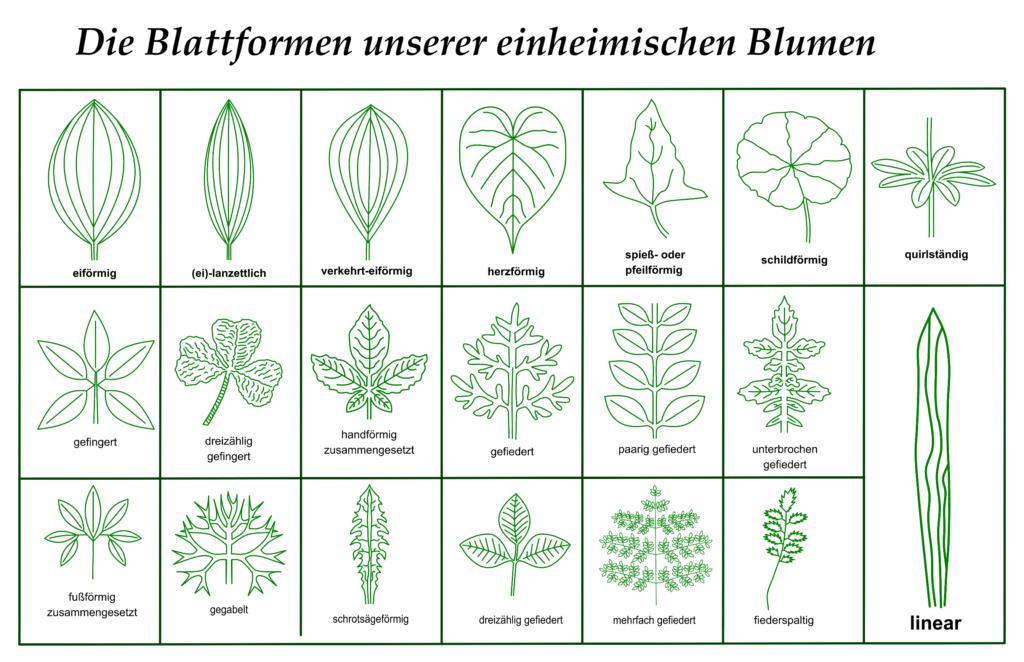 Downloads - Blattformen einheimischer Pflanzen