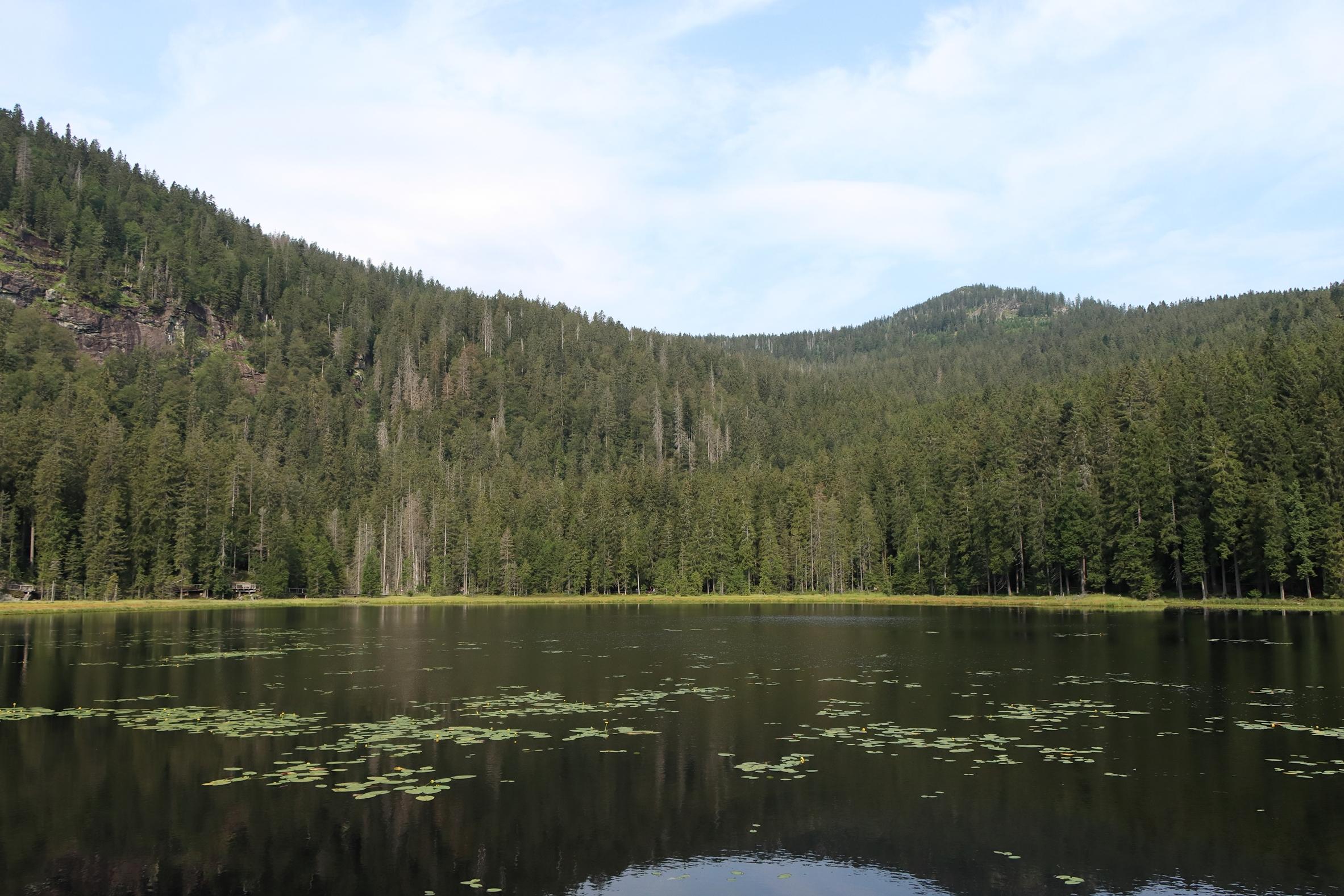 Gelbe Teichrose - Natürliches Vorkommen am Großen Arbersee