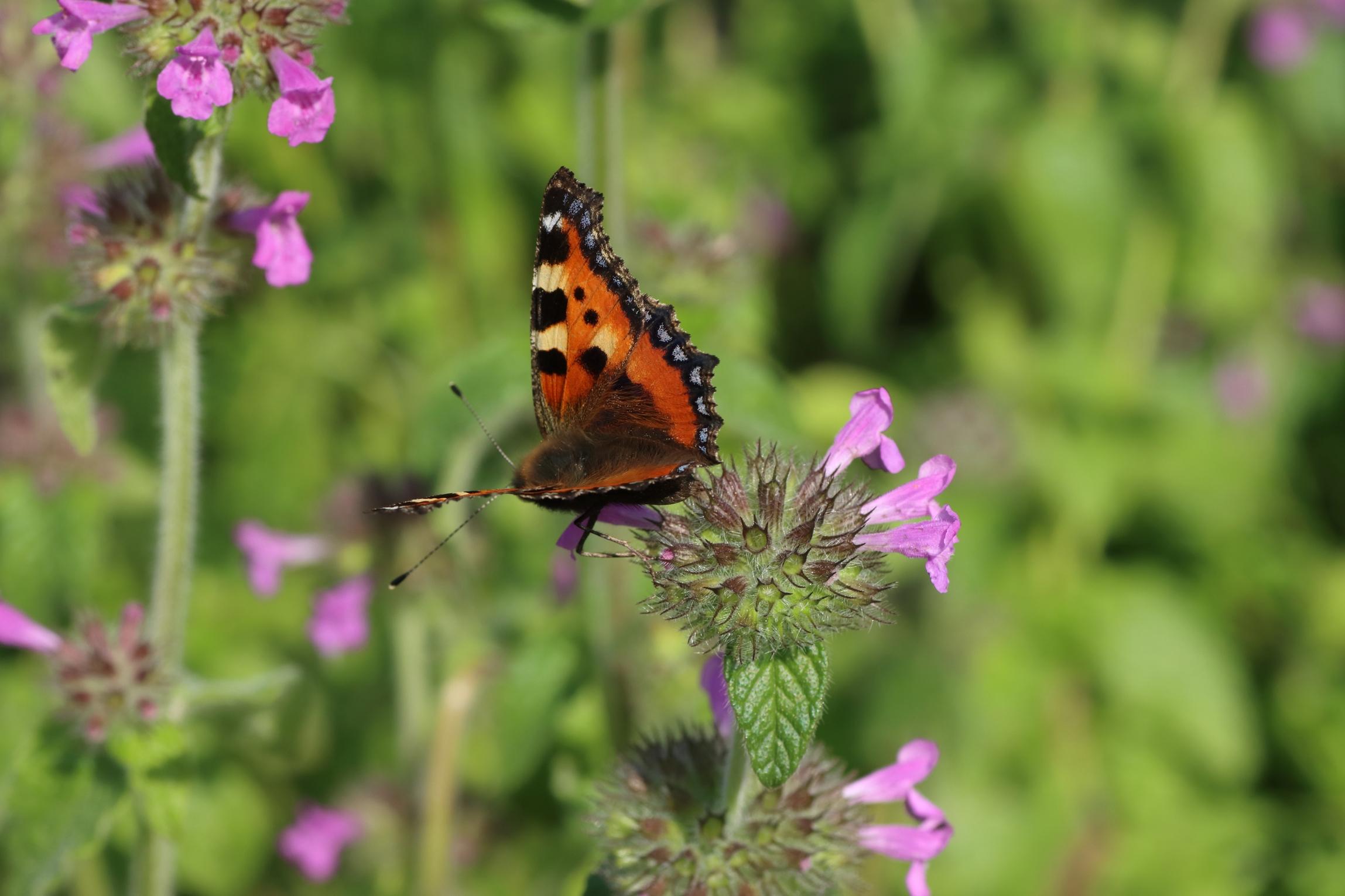 Schmetterlinge - Kleiner Fuchs