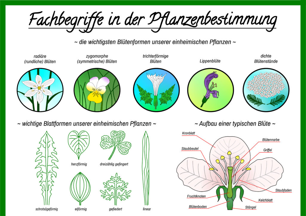 Downloads - Fachbegriffe in der Pflanzenbestimmung