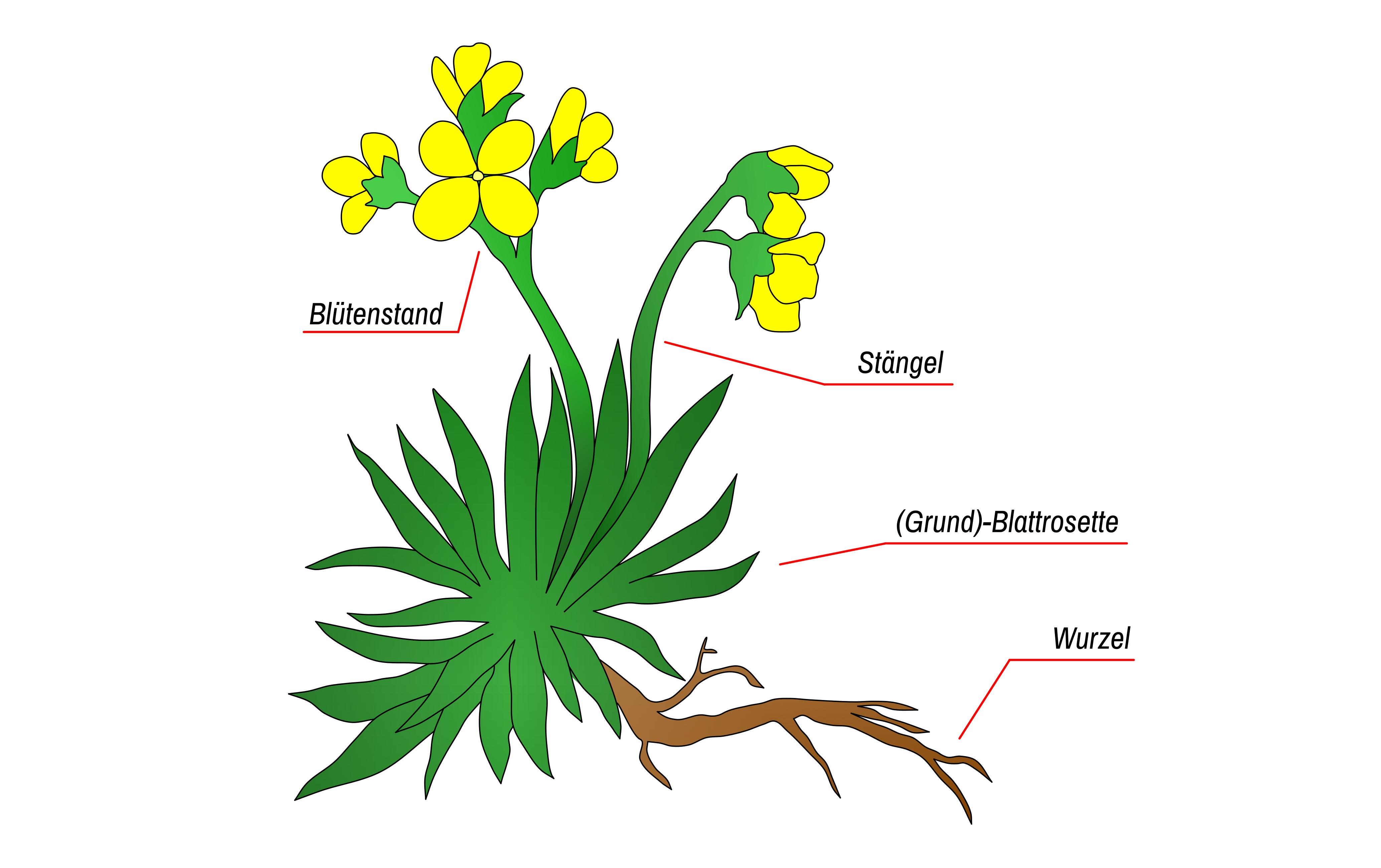 Pflanzenbestimmung - Aufbau einer Pflanze