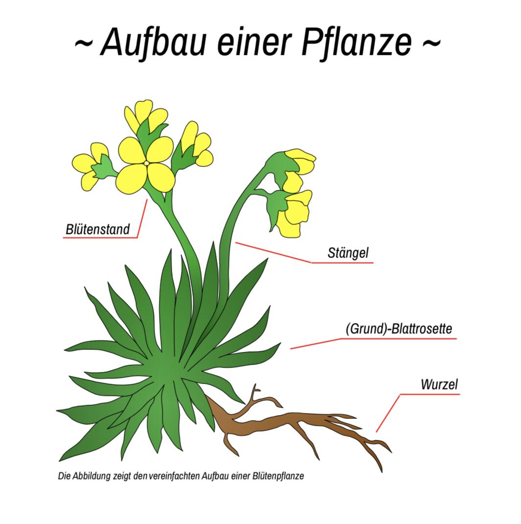 Downloads - Aufbau einer Pflanze
