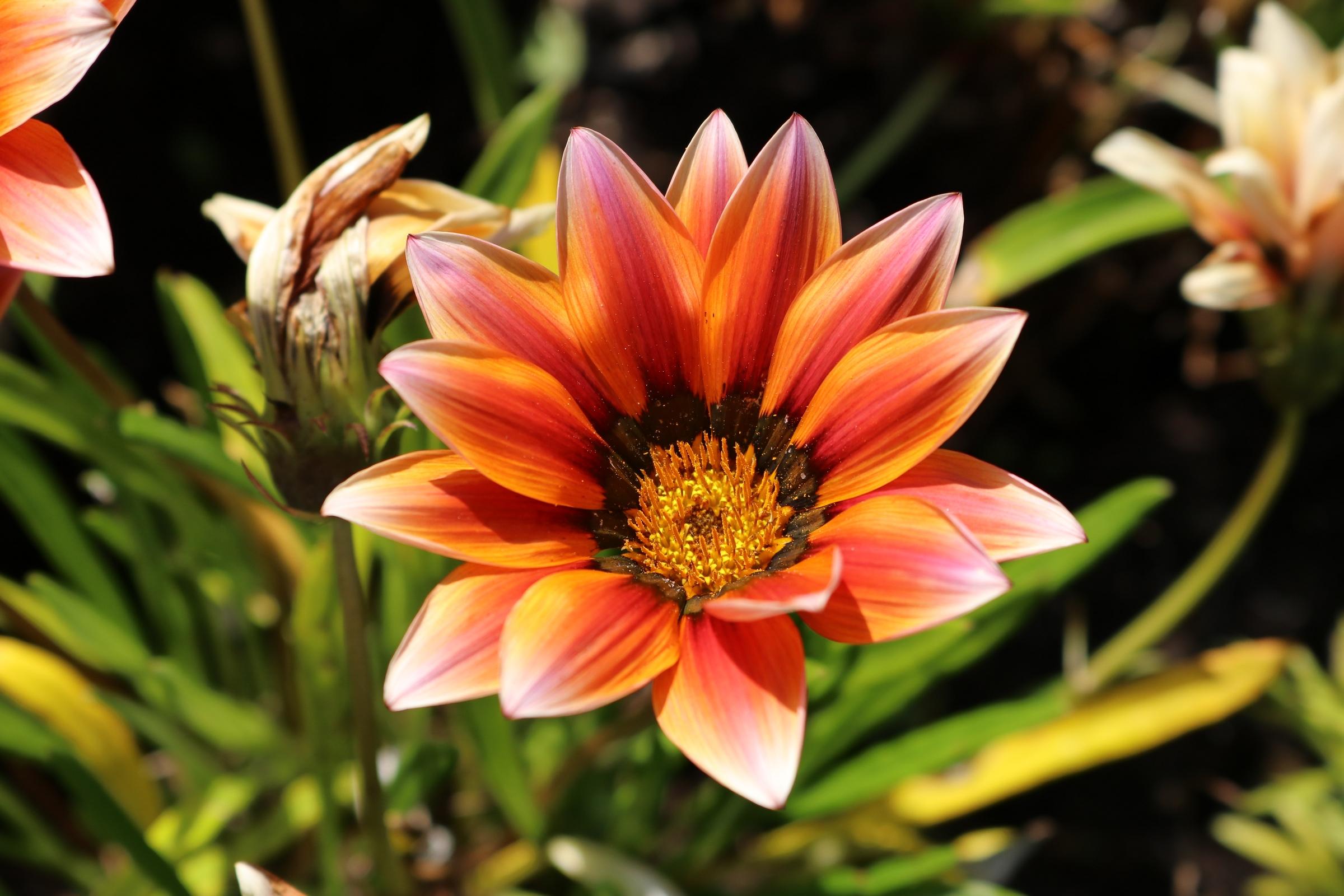 Gazanie - Blüte