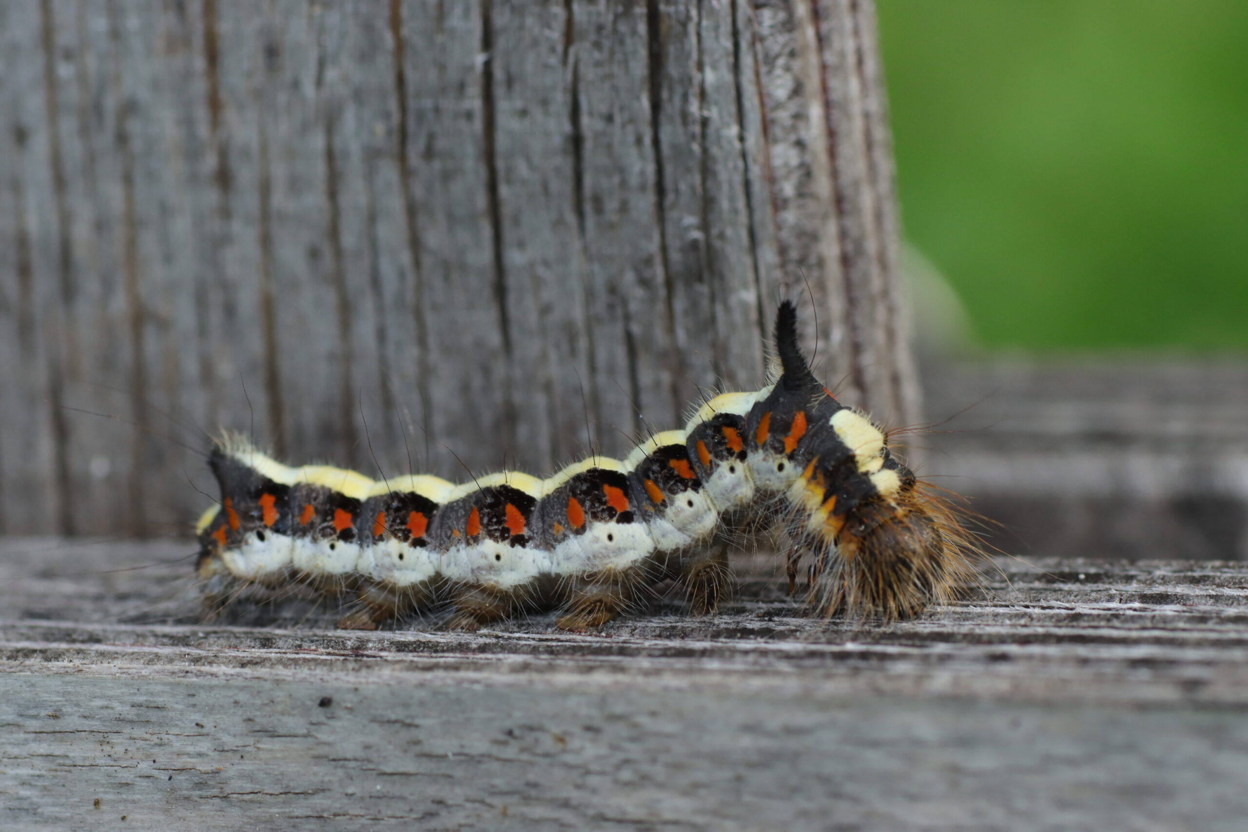 Pfeileule - Nachfalter - Schmetterlinge