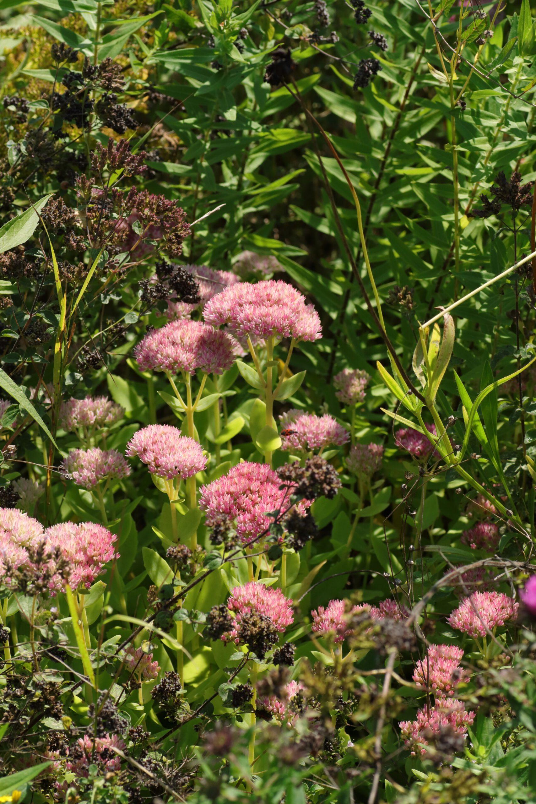 Fetthenne - Gesamte Pflanze