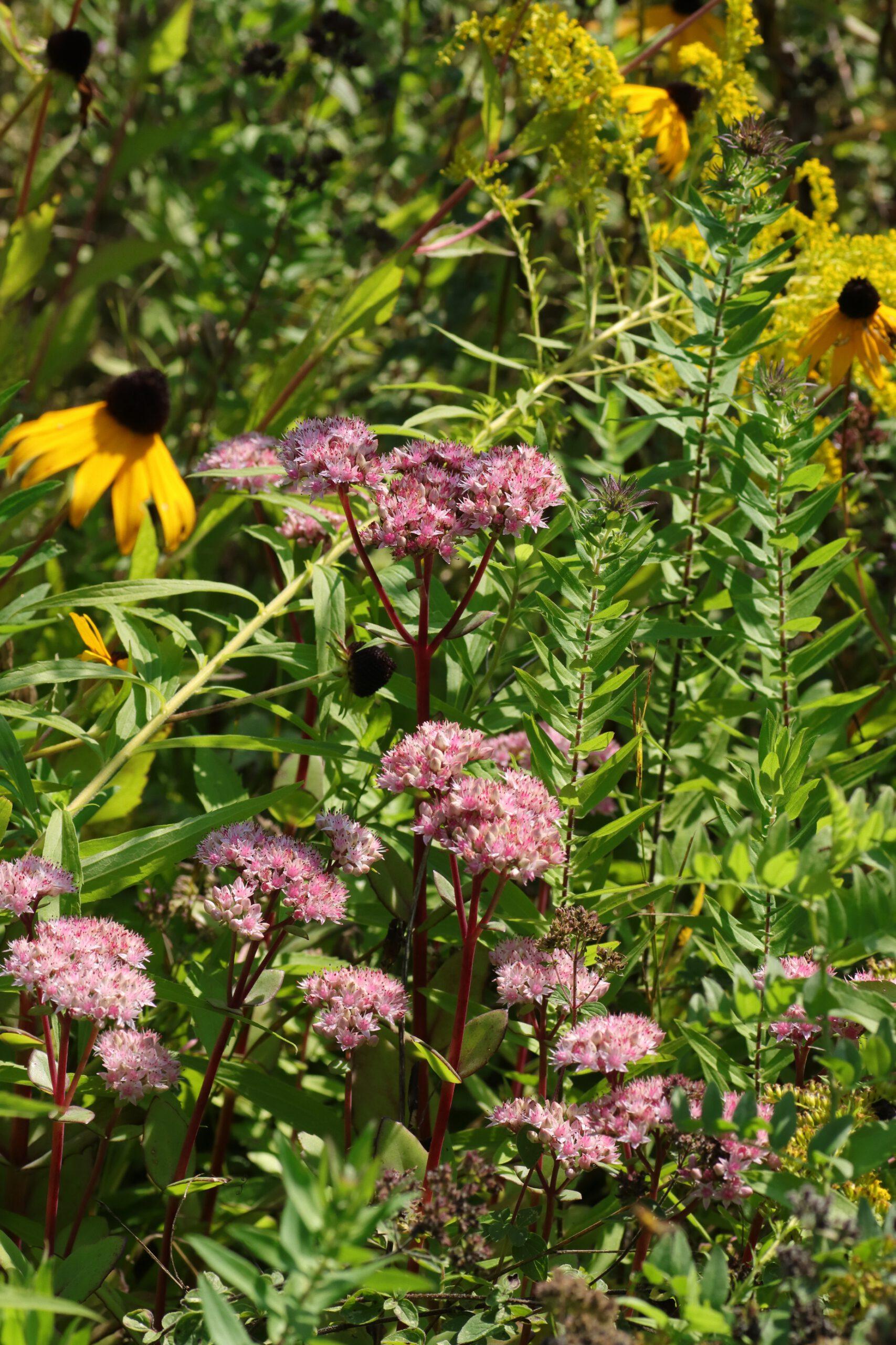 Purpur-Fetthenne - Blütengruppe
