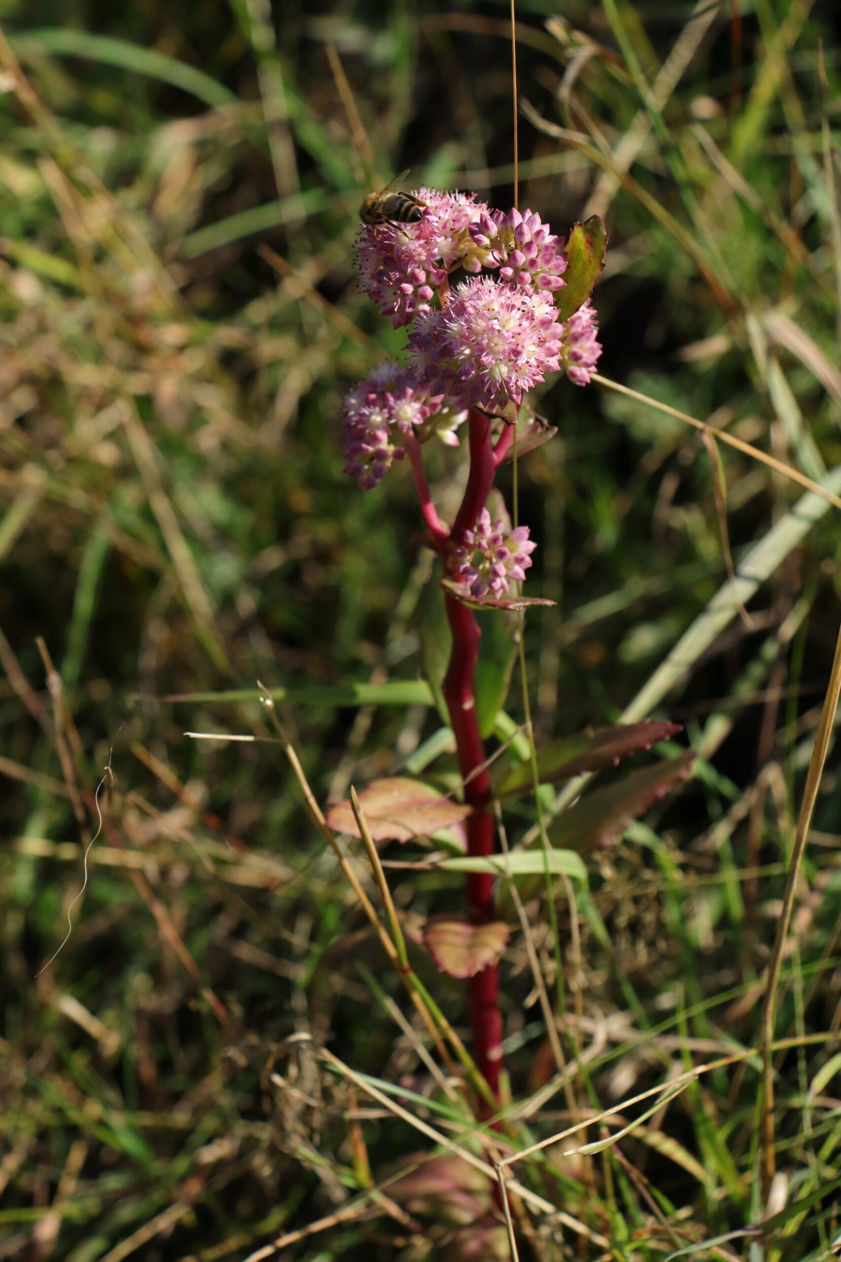 Purpur-Fetthenne - Gesamte Pflanze