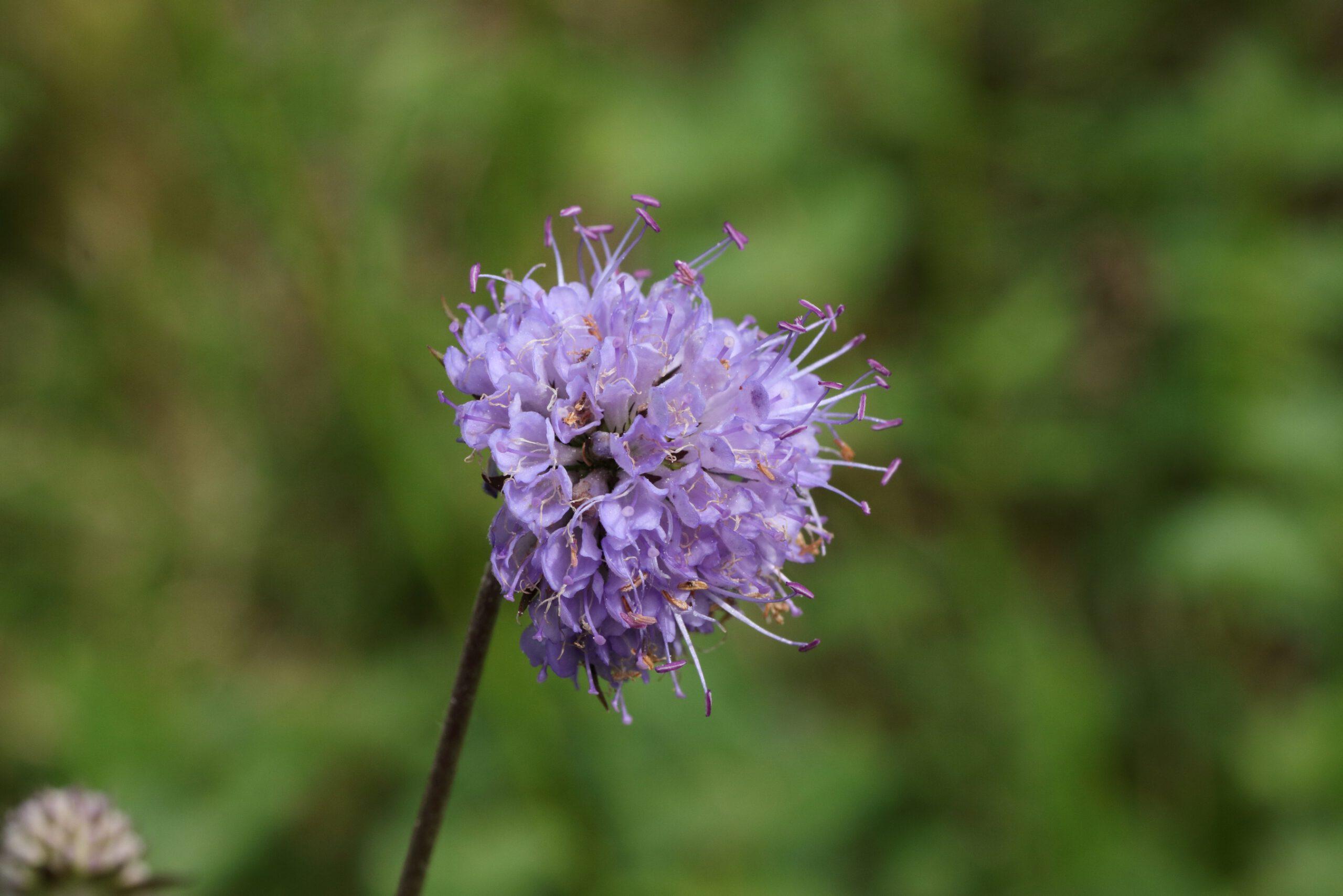 Teufelsabbiss - Blüte