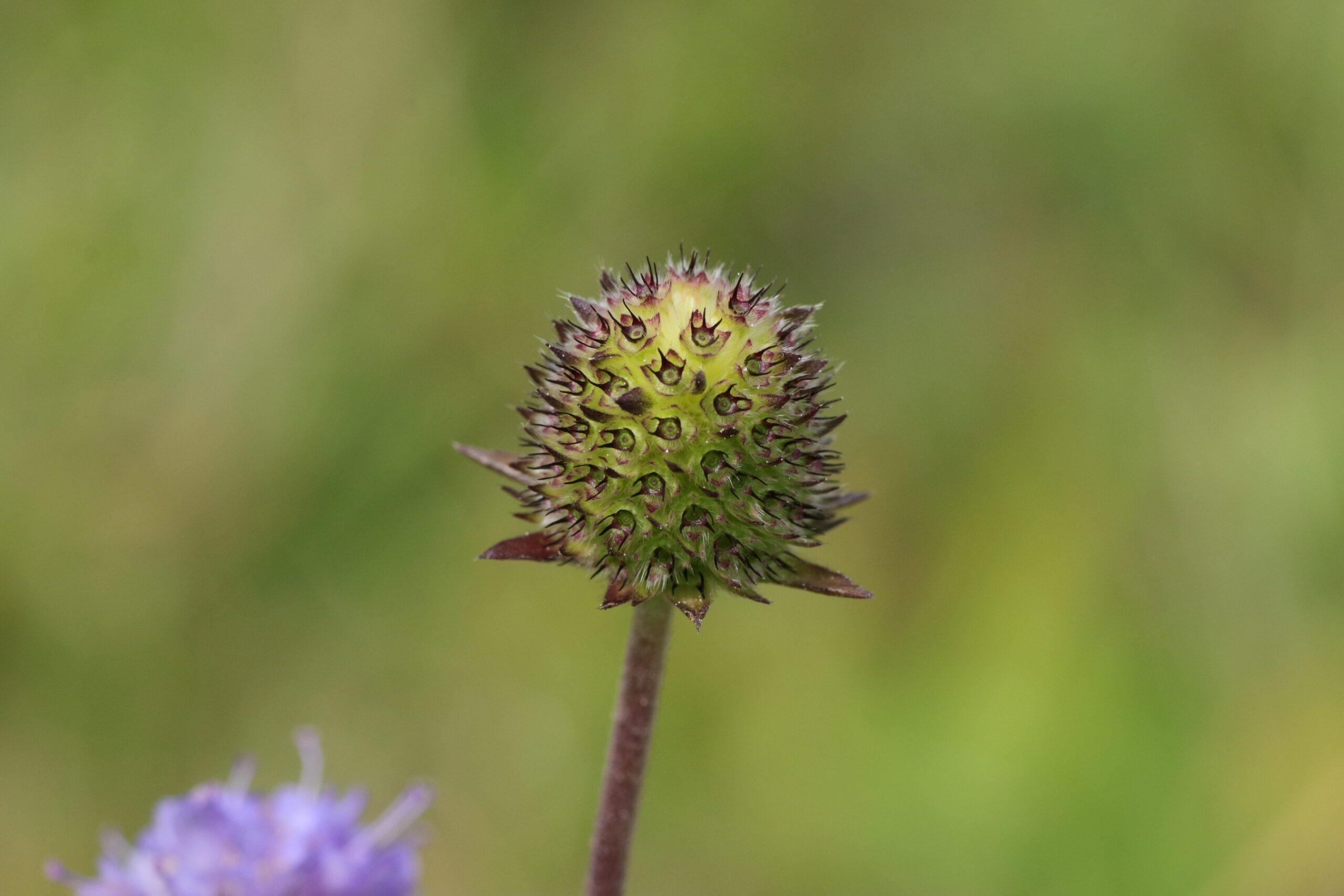 Teufelsabbiss - verblüte Blüte