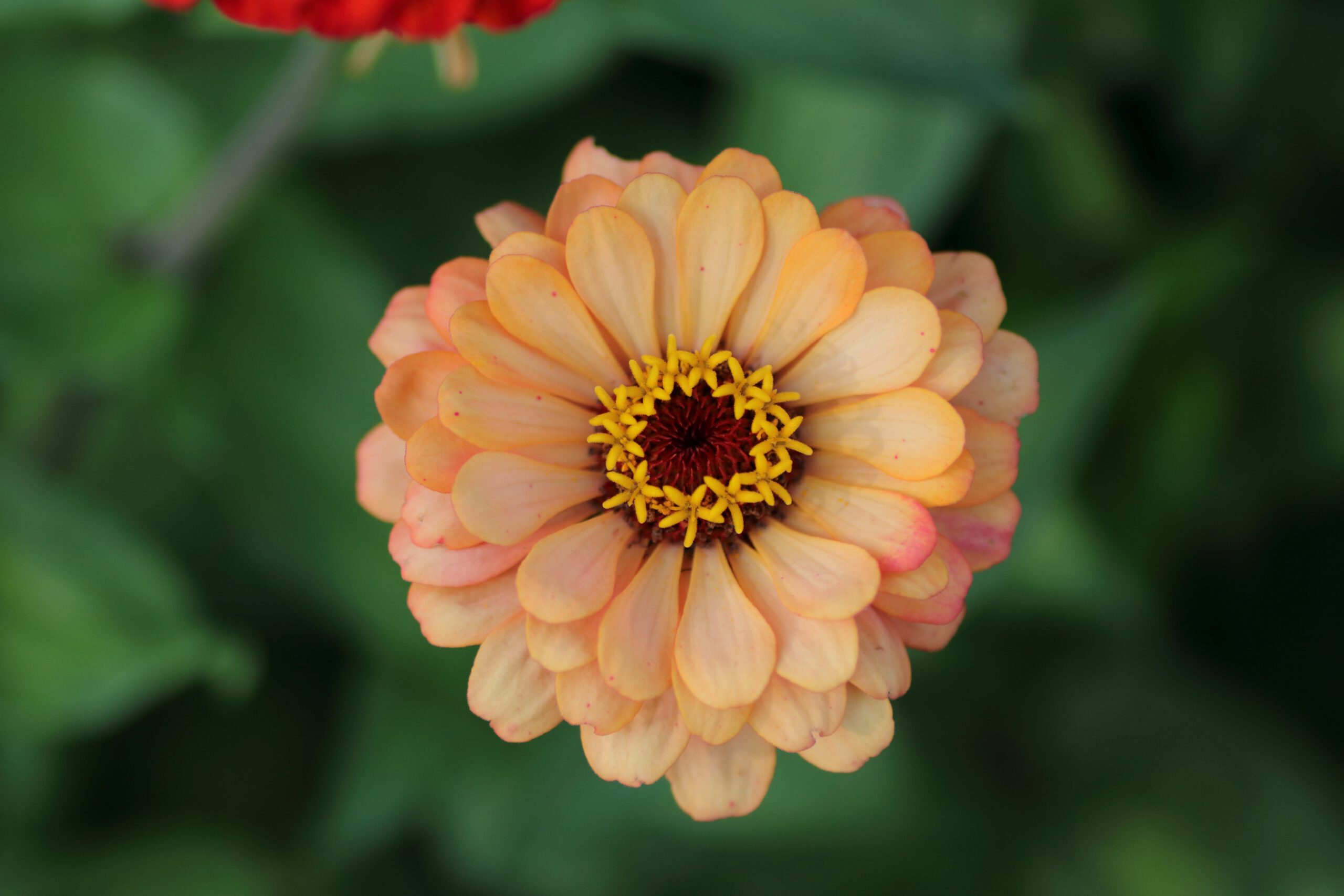 Zinnie - Blüte