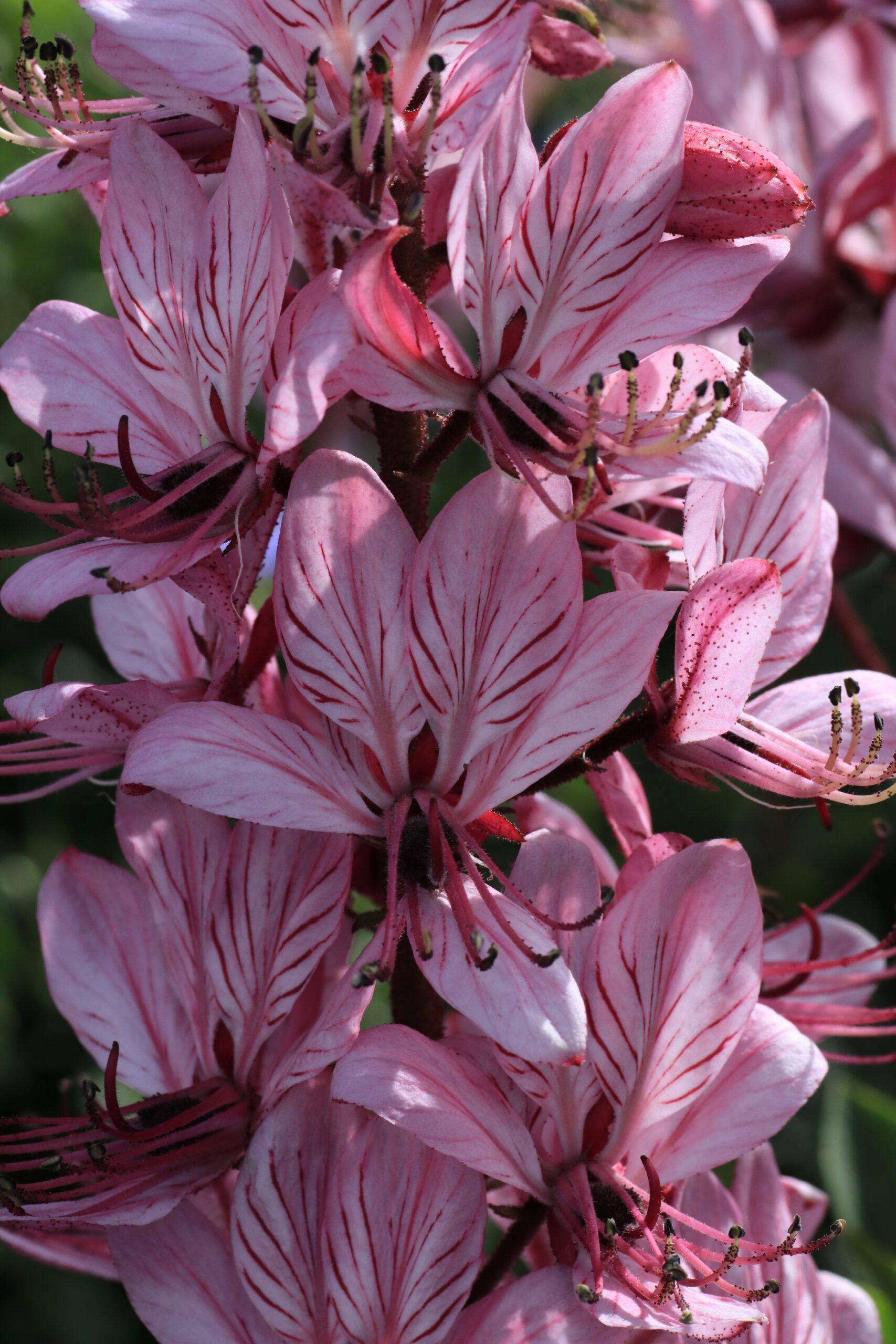 Blüte des Diptam