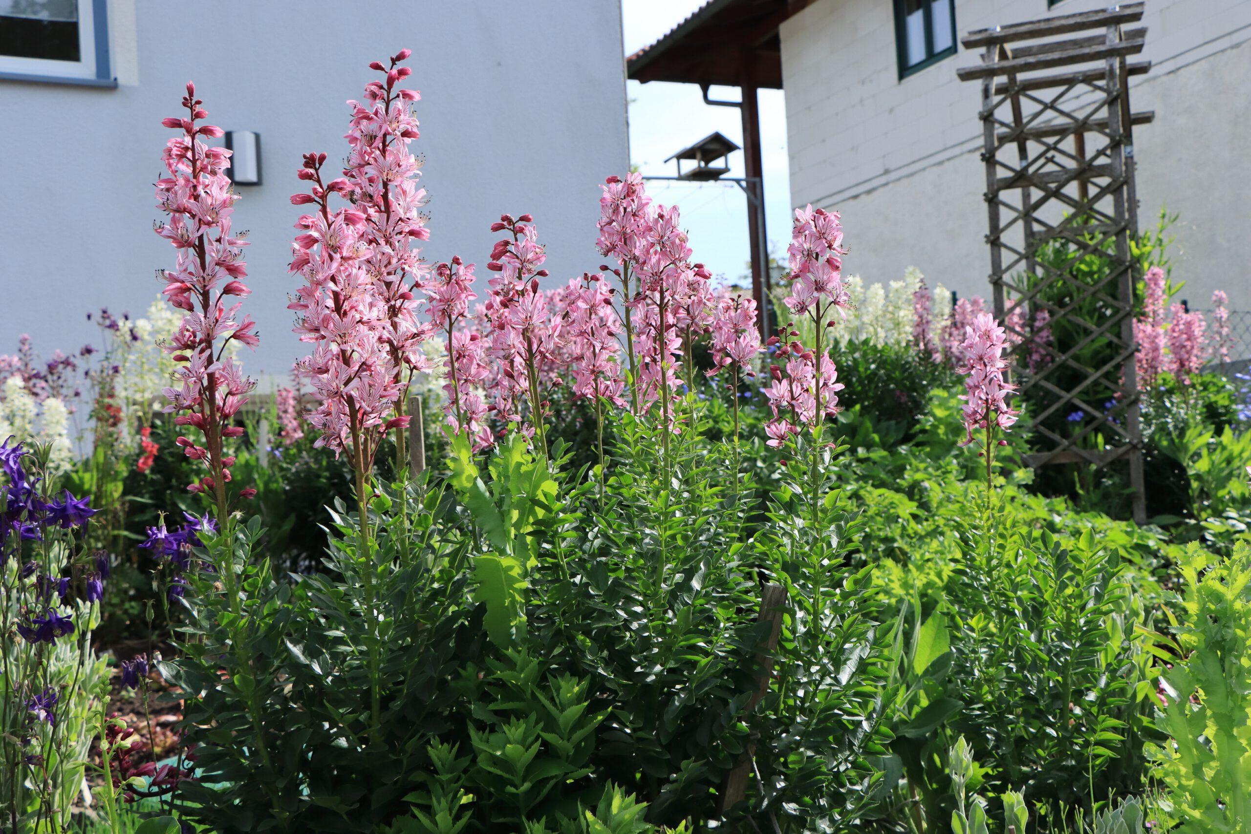 Diptam - Gesamte Pflanze