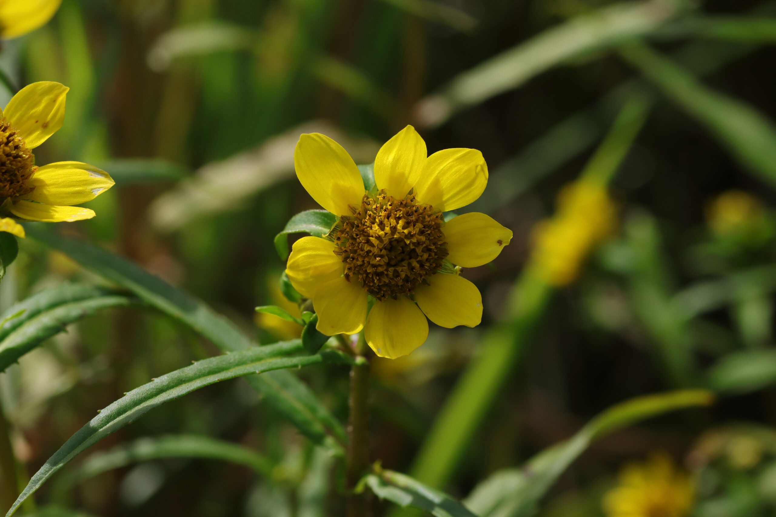 Blüte - Nickender Zweizahn