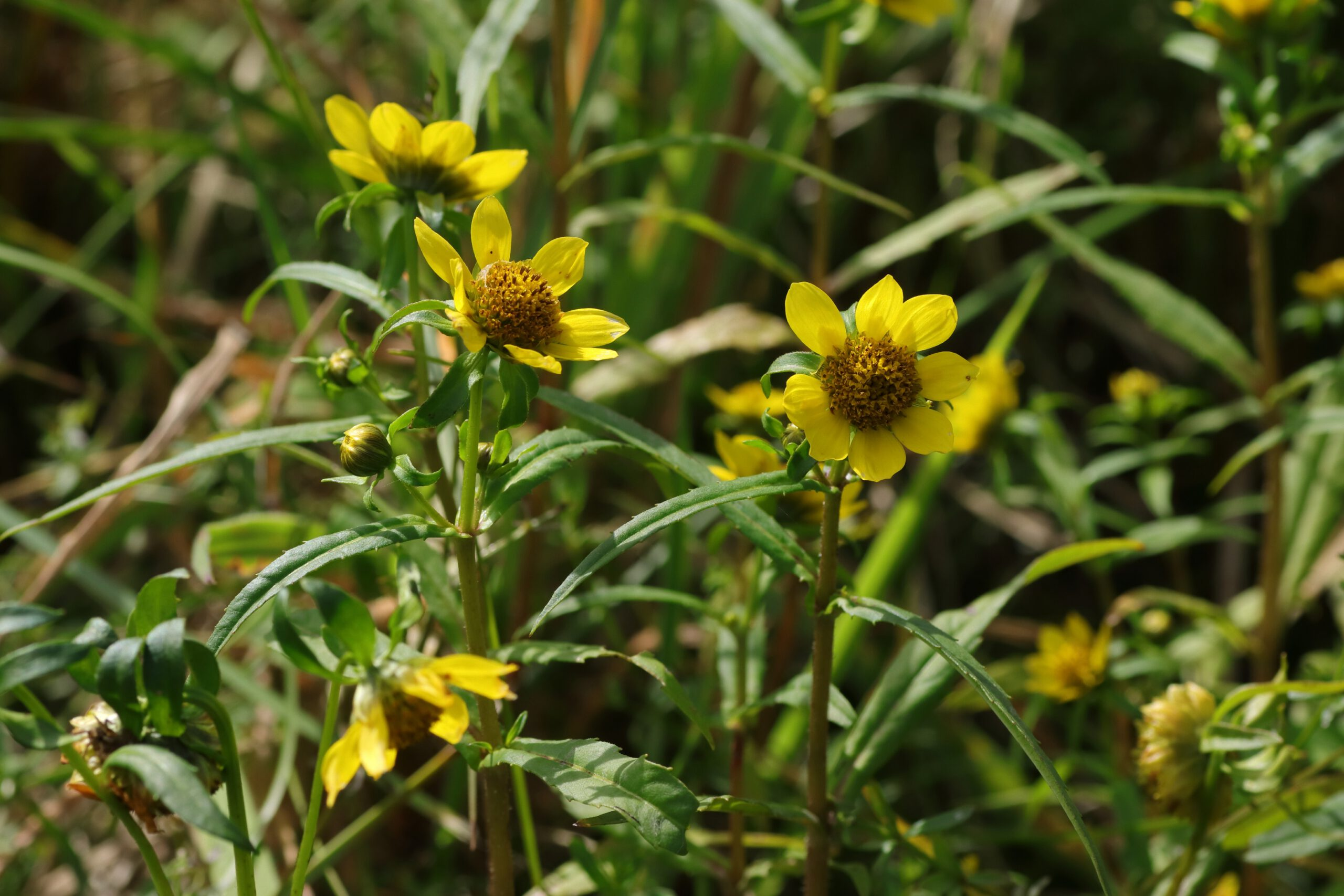 Blütengruppe - Nickender Zweizahn