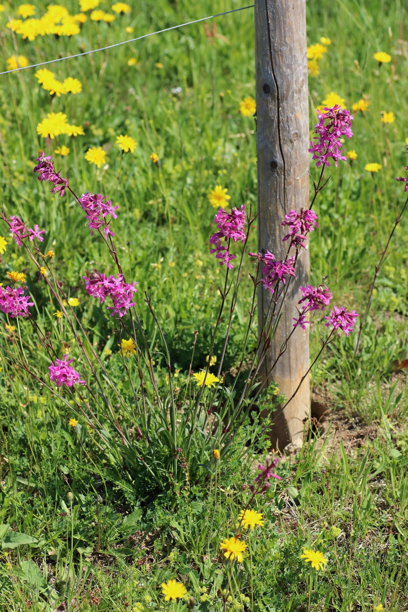 Pechnelke - Gesamte Pflanze