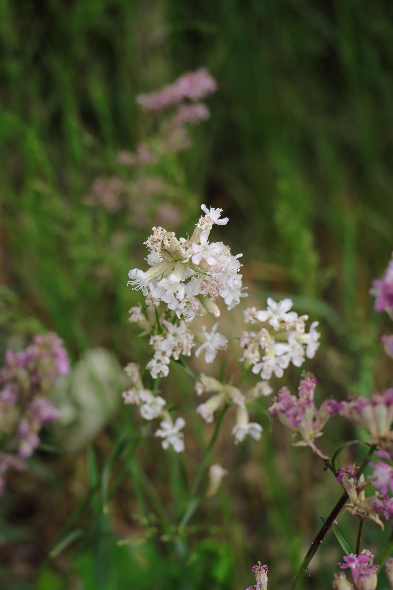 Pechnelke - Weiße Blüte