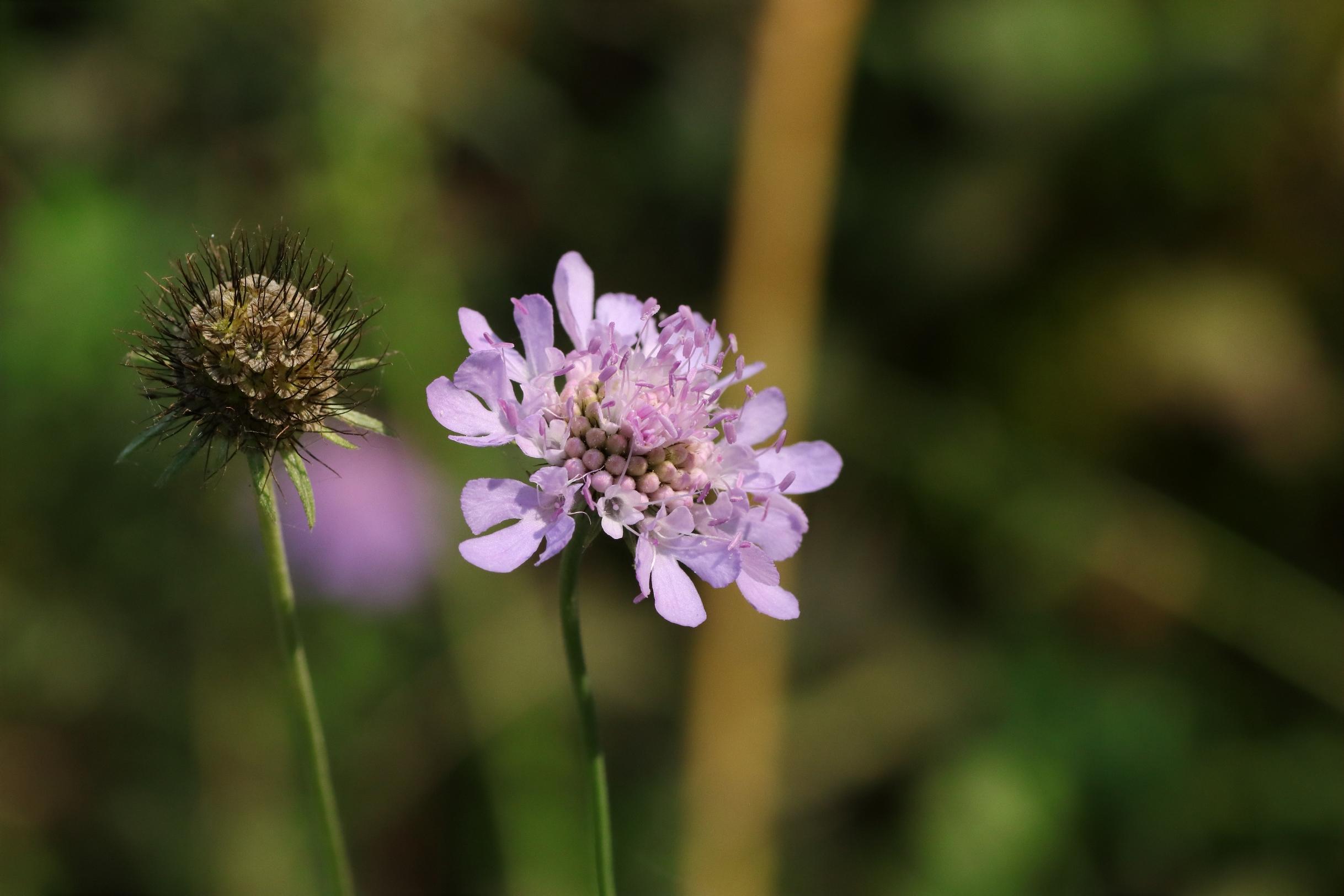 Tauben-Skabiose - Blüte / verblühter Blütenstand