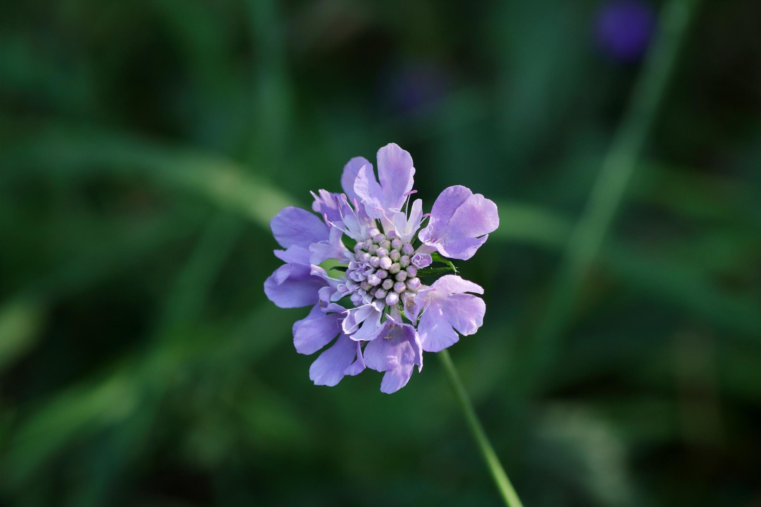 Tauben-Skabiose - Blüte